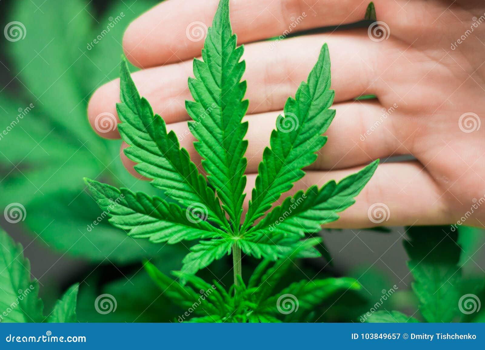 Марихуана в медицин кепки с марихуаной