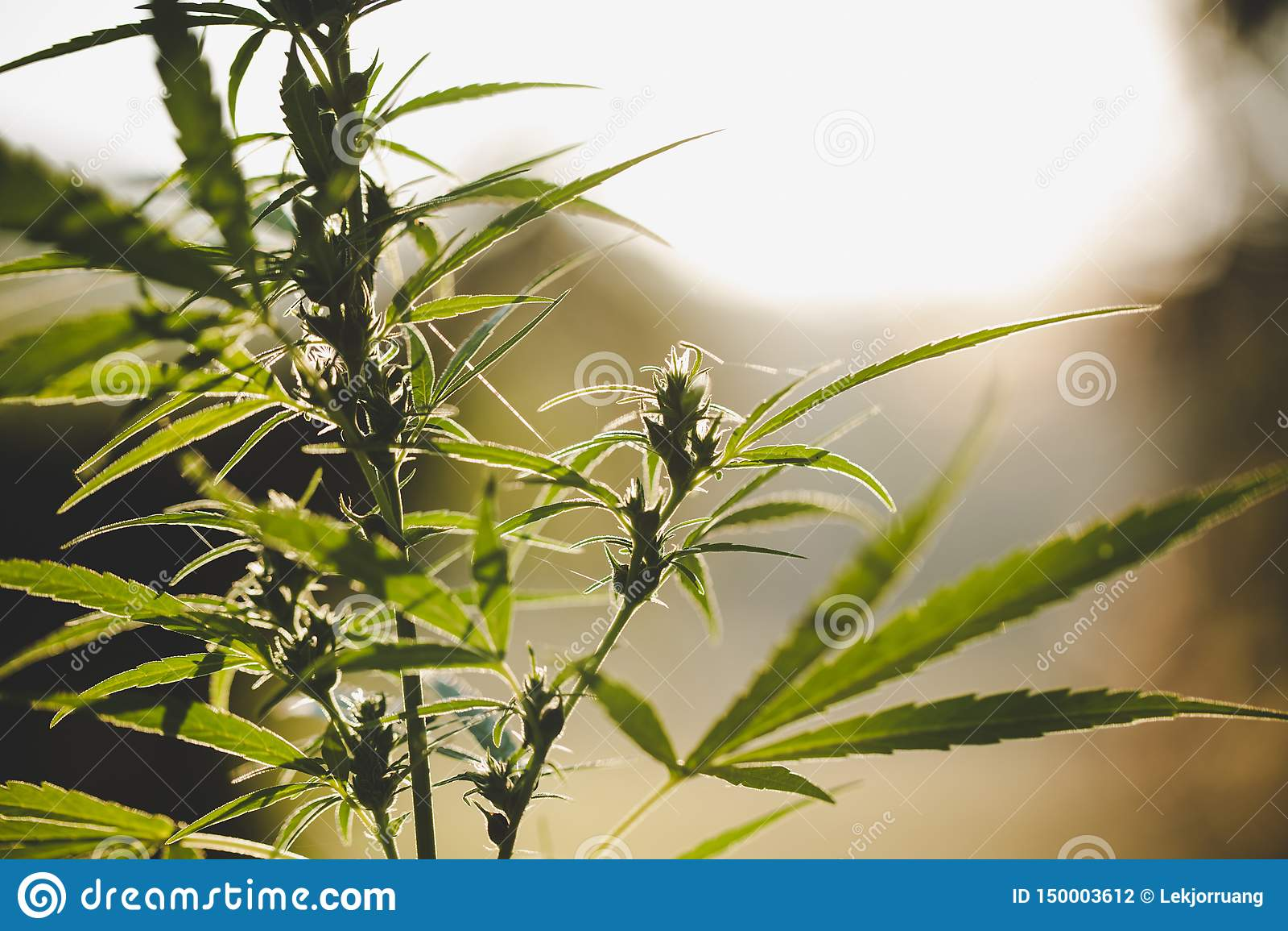 Конопля цветя бутонов марихуаны, завод пеньки Медицинское цветковое растение конопли r