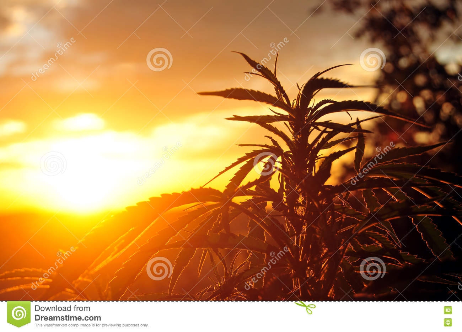 Конопли засаживают на восходе солнца