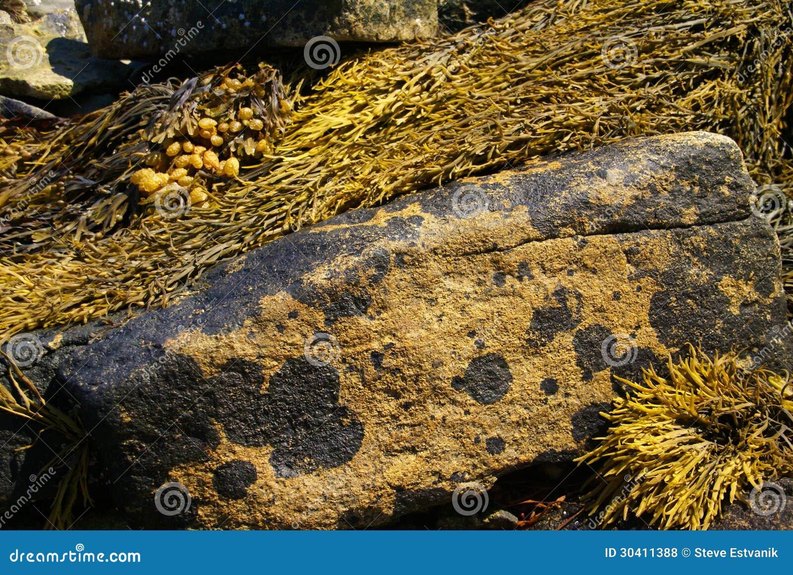 Конспект - коричневый келп на валуне гранита