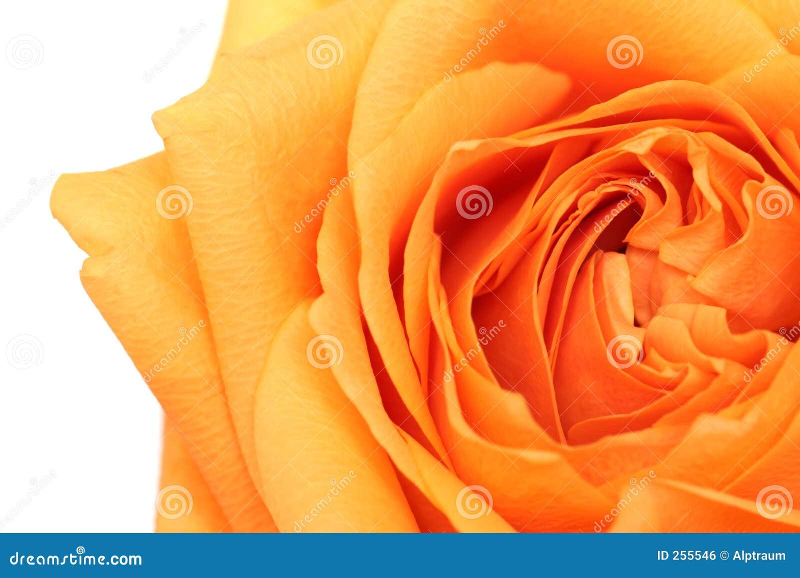 конспект над белизной розы