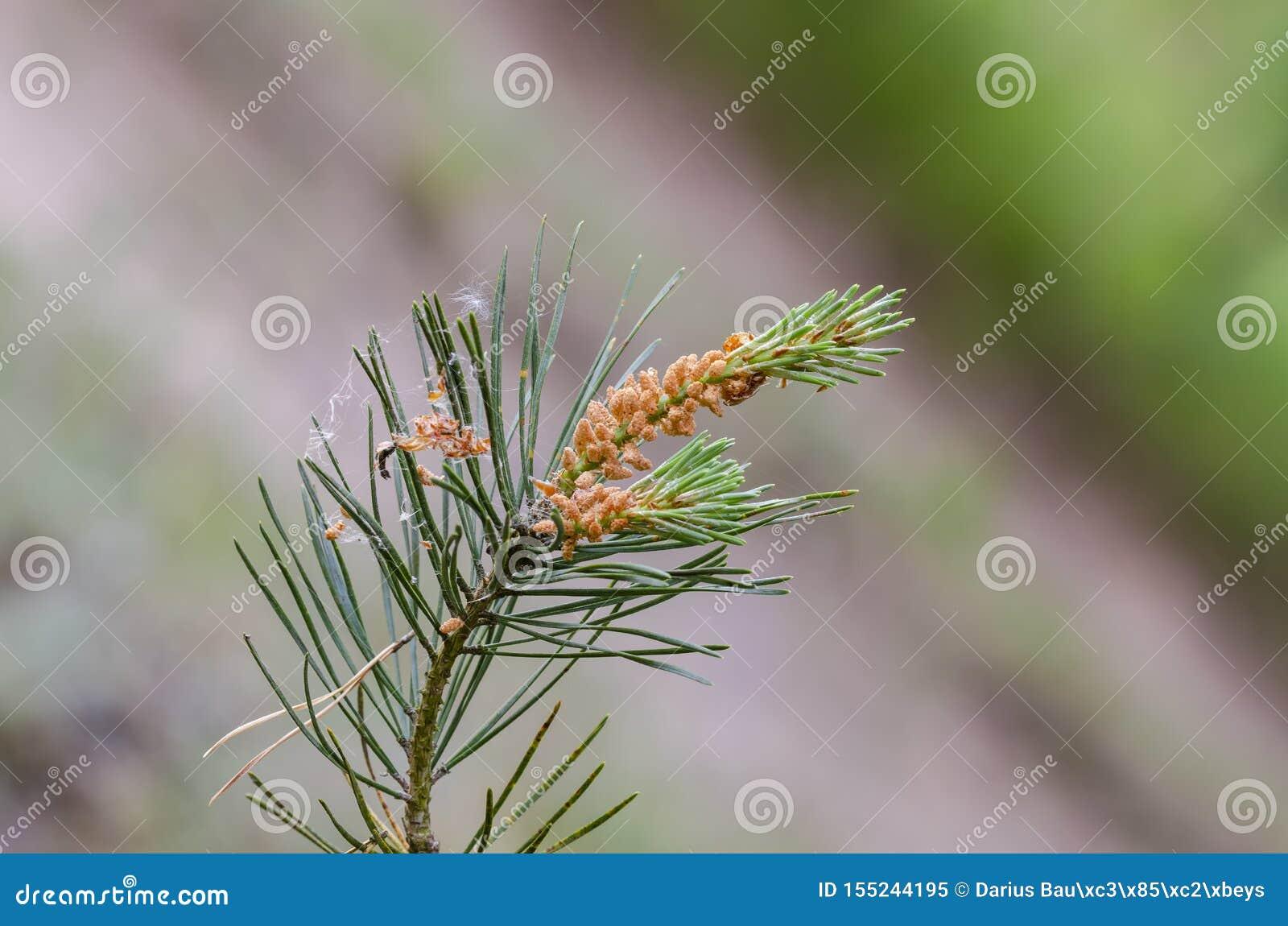 Конусы листвы и цветня общей scots сосны