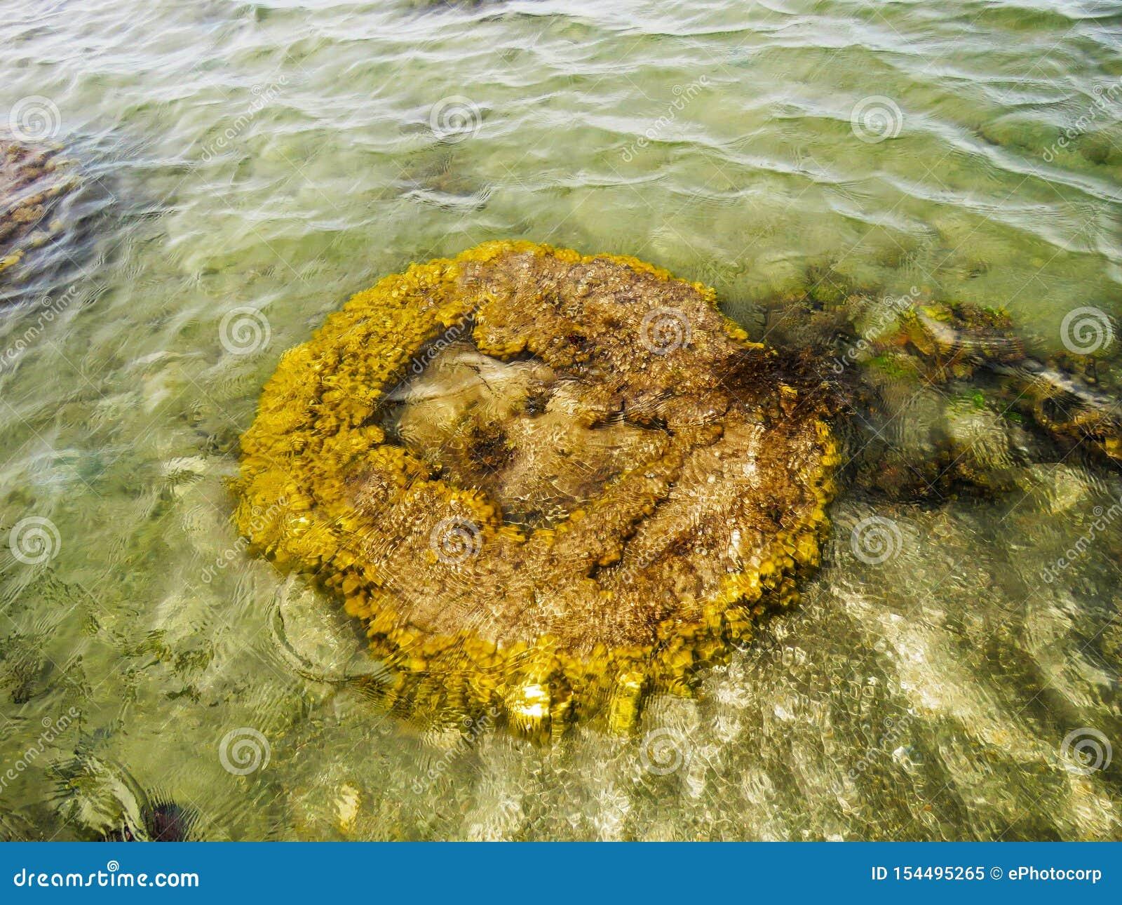Коралл мозга, остров Kurusadai, залив запаса биосферы Mannar, Tamil Nadu, Индии