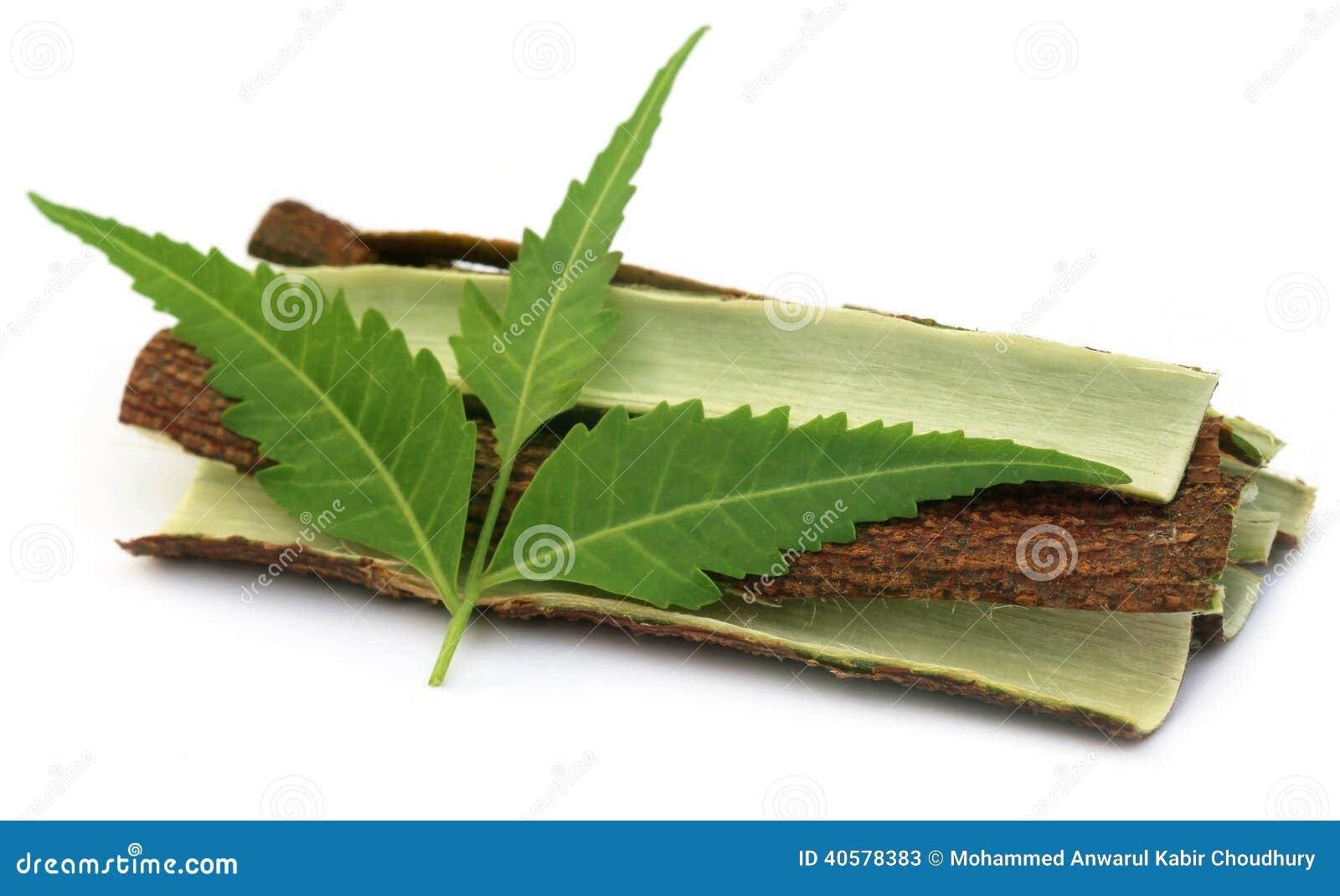 Кора дерева целебного Neem с листьями