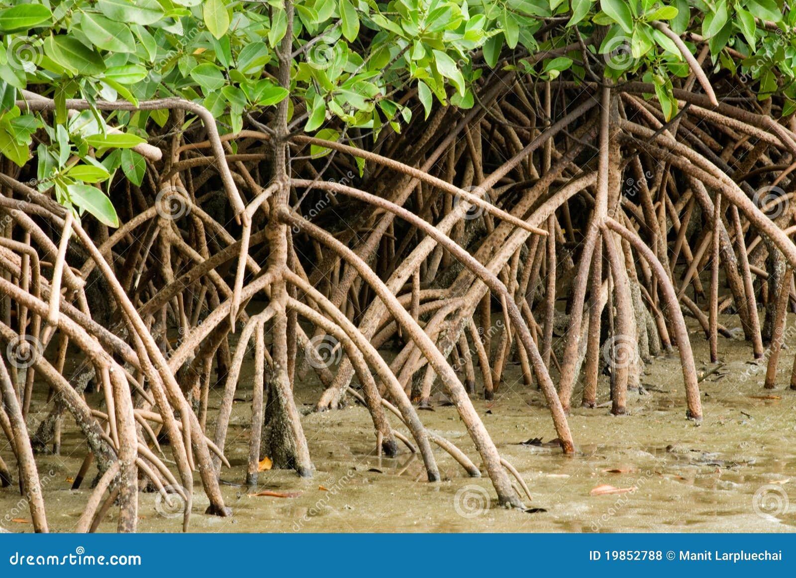 корень мангровы