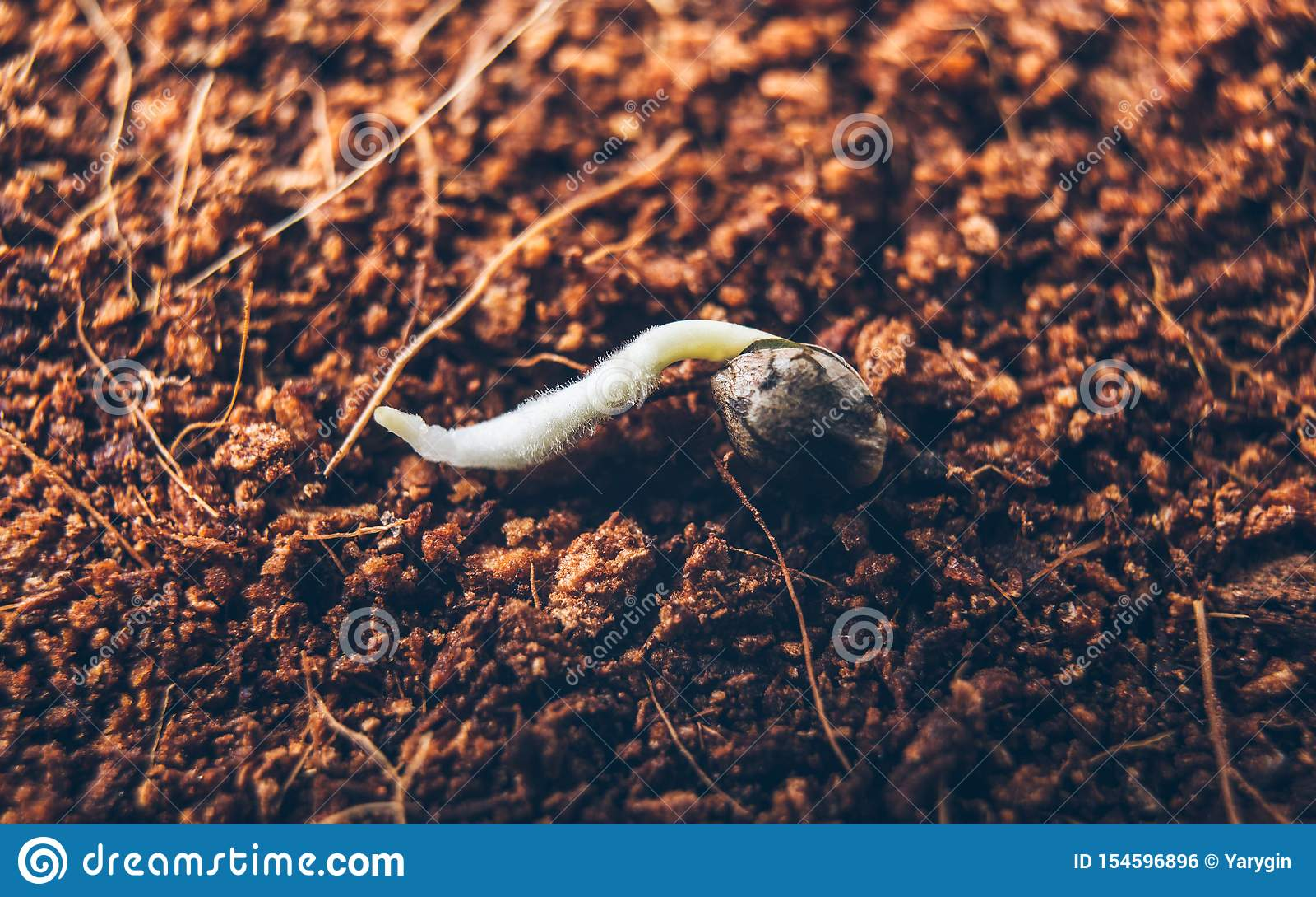 Семена марихуаны корни жареная конопля каша