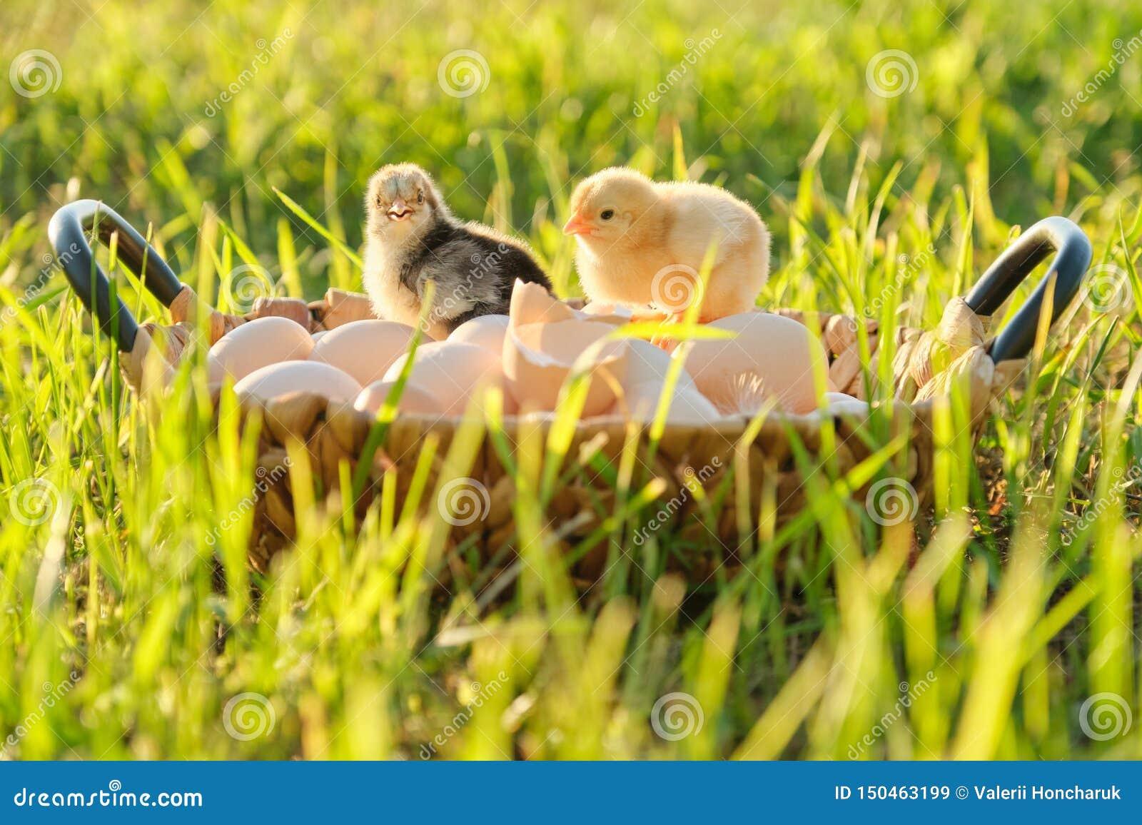 Корзина с естественными свежими органическими яйцами с 2 маленькими newborn цыплятами младенца, предпосылка природы травы