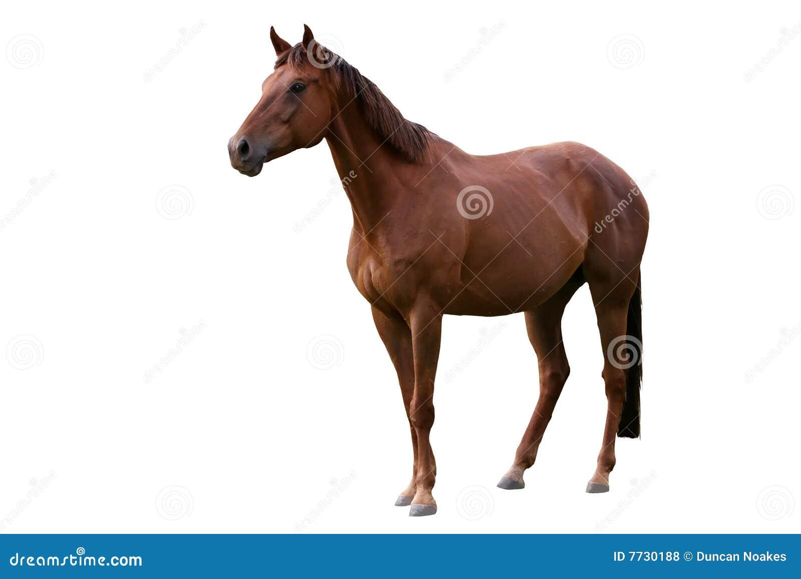 коричневой белизна изолированная лошадью