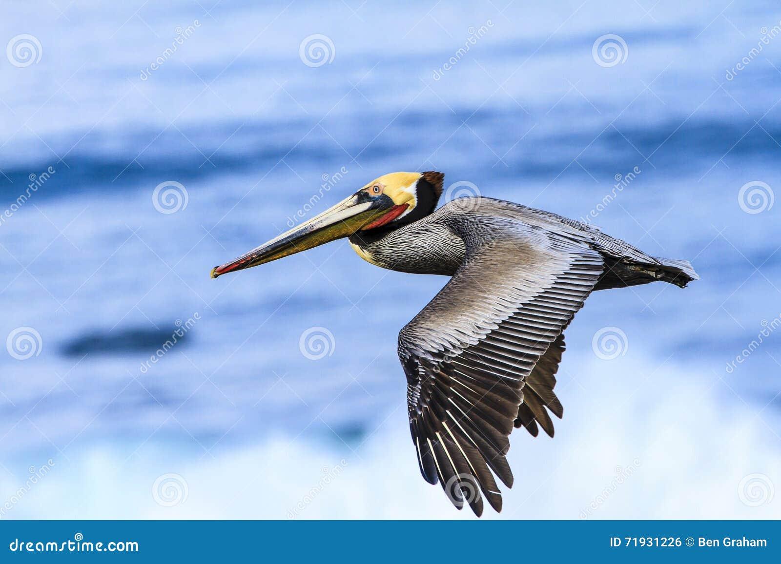 коричневый пеликан полета