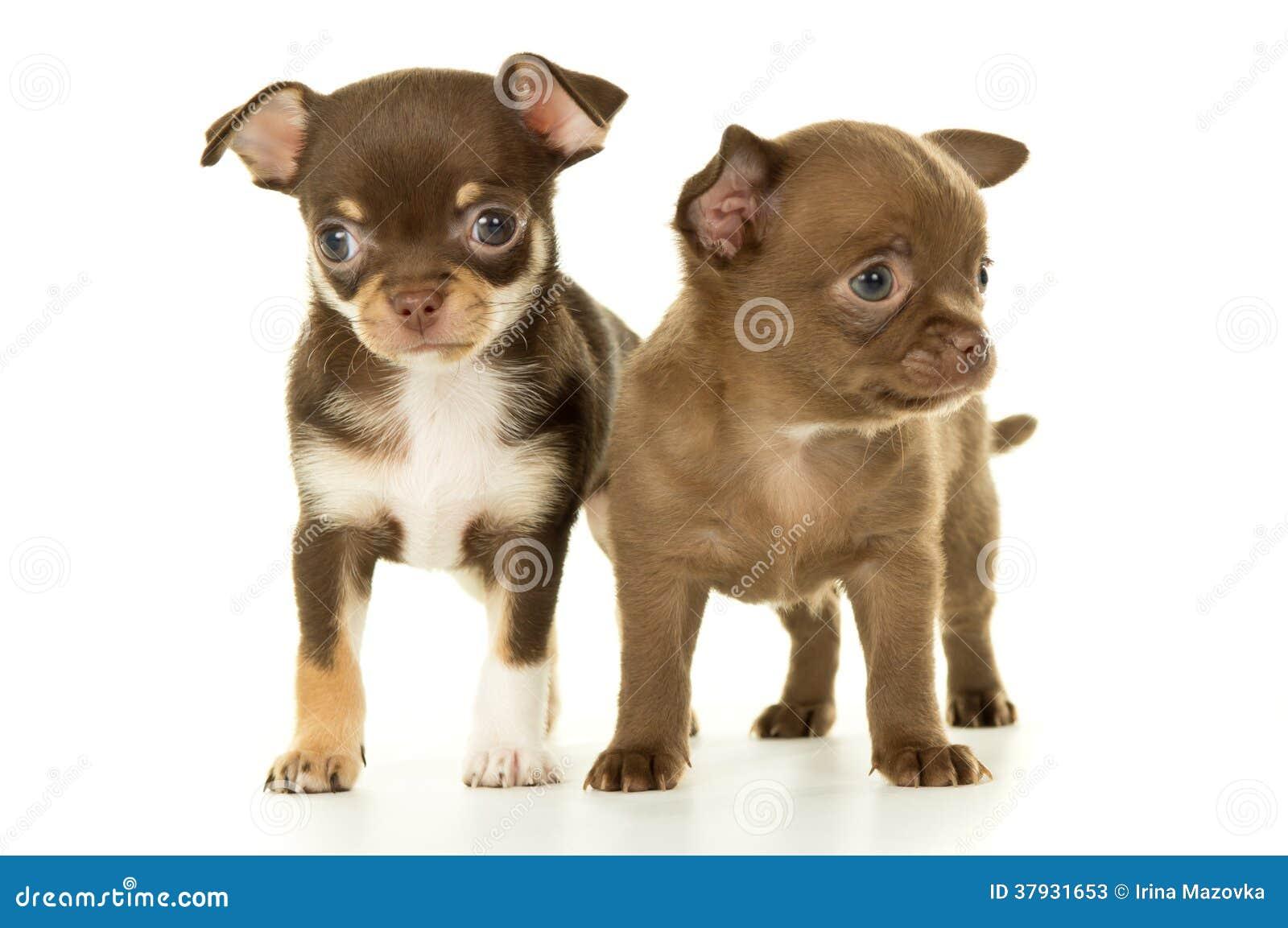 Коричневый щенок чихуахуа 2