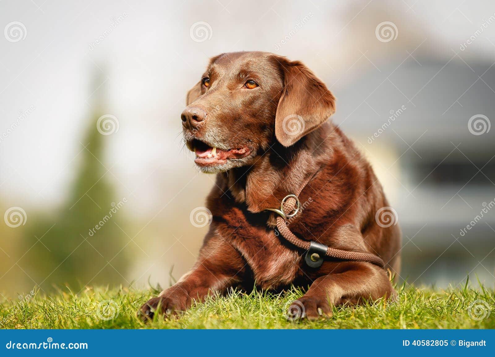 коричневый retriever labrador