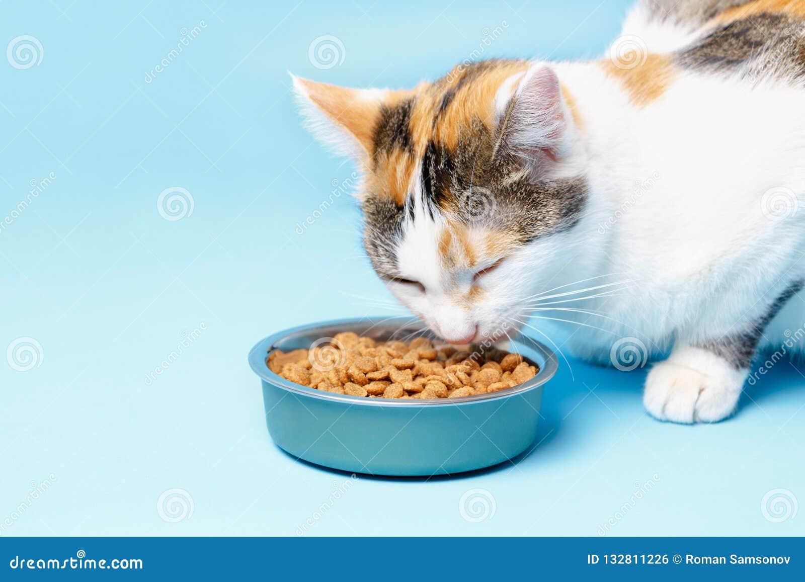 Кори кот аппетитен ест от плиты на голубом backgroun