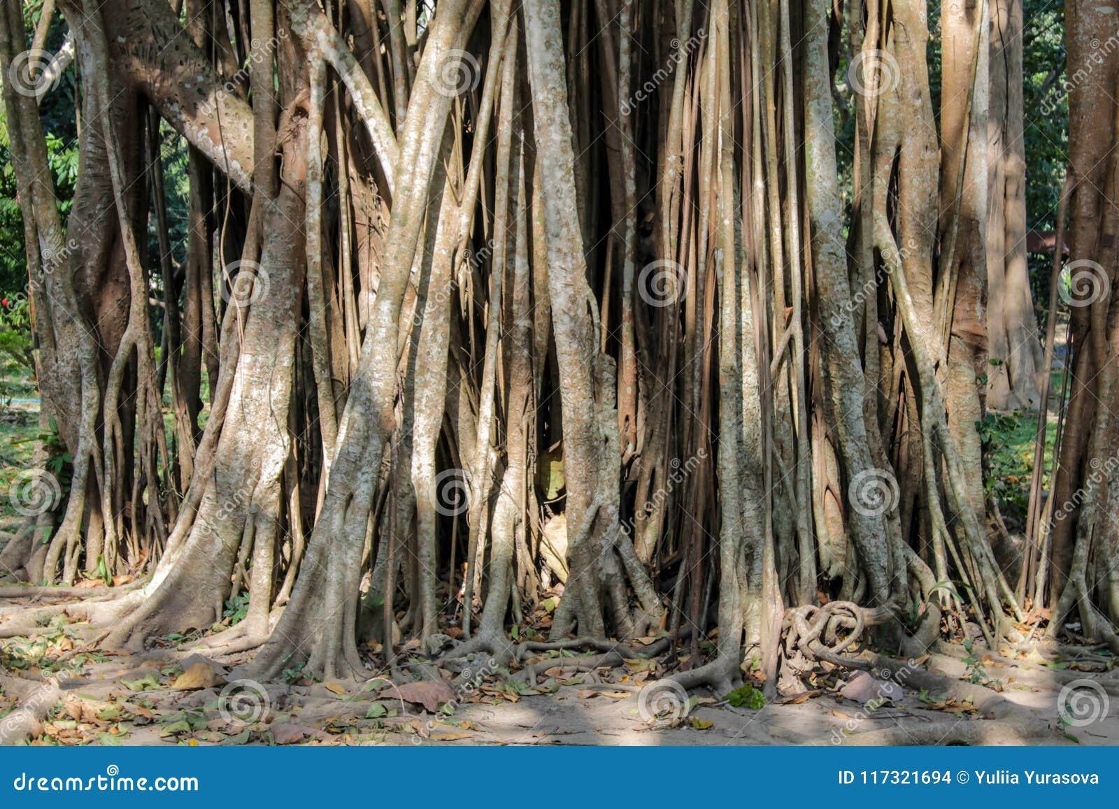 Корни баньяна лесного дерева джунглей в тропическом тропическом лесе