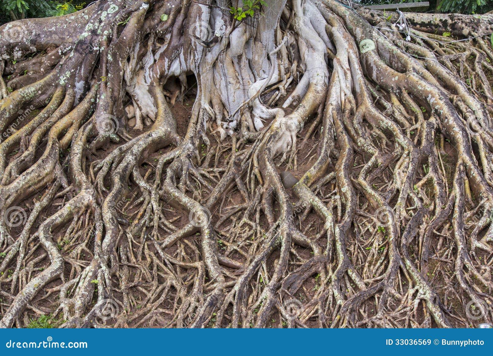 фото корни деревьев