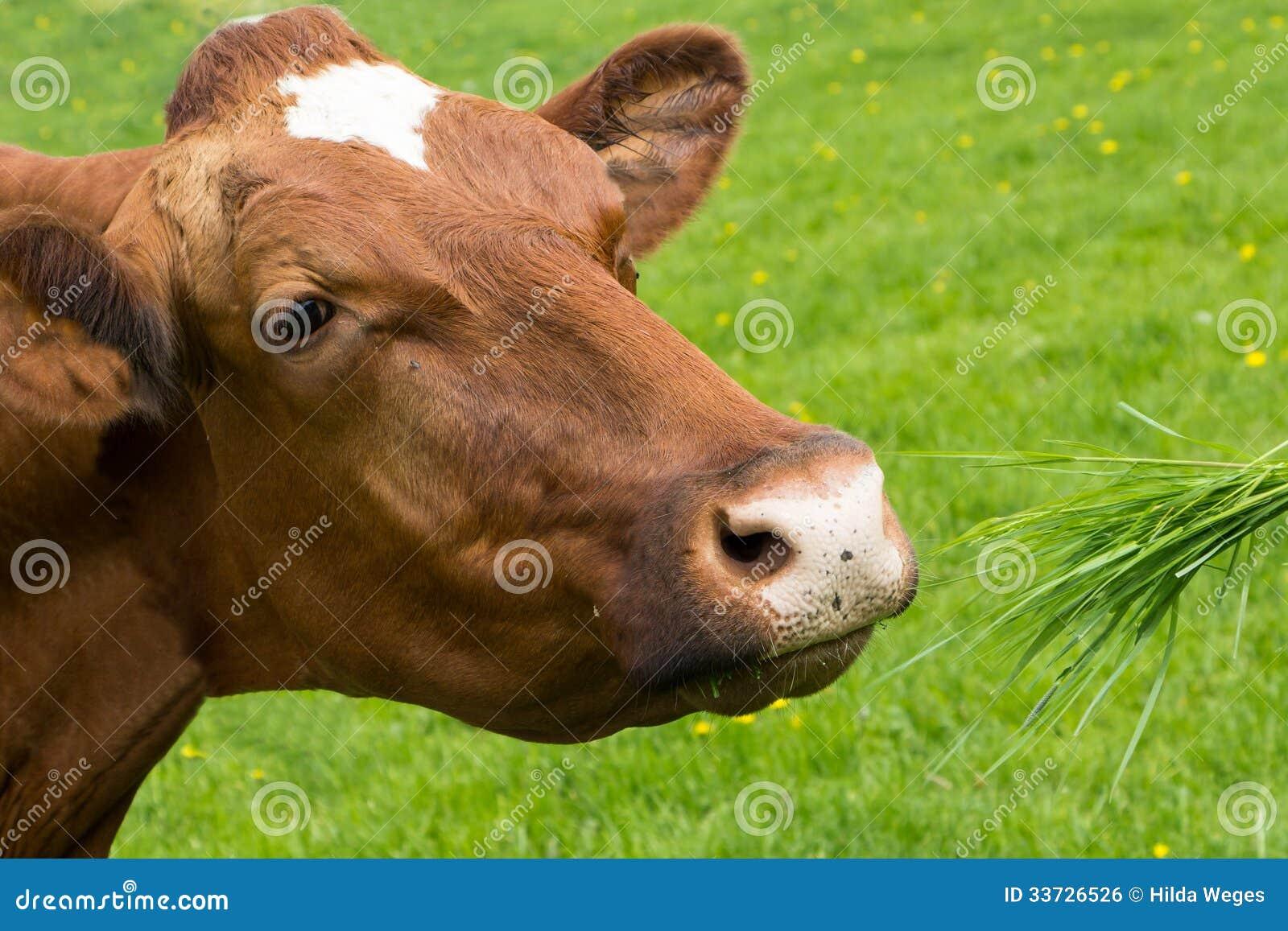 Корова Брайна