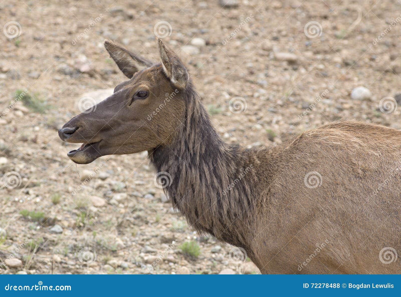 Download Корова вапити стоковое фото. изображение насчитывающей лось - 72278488