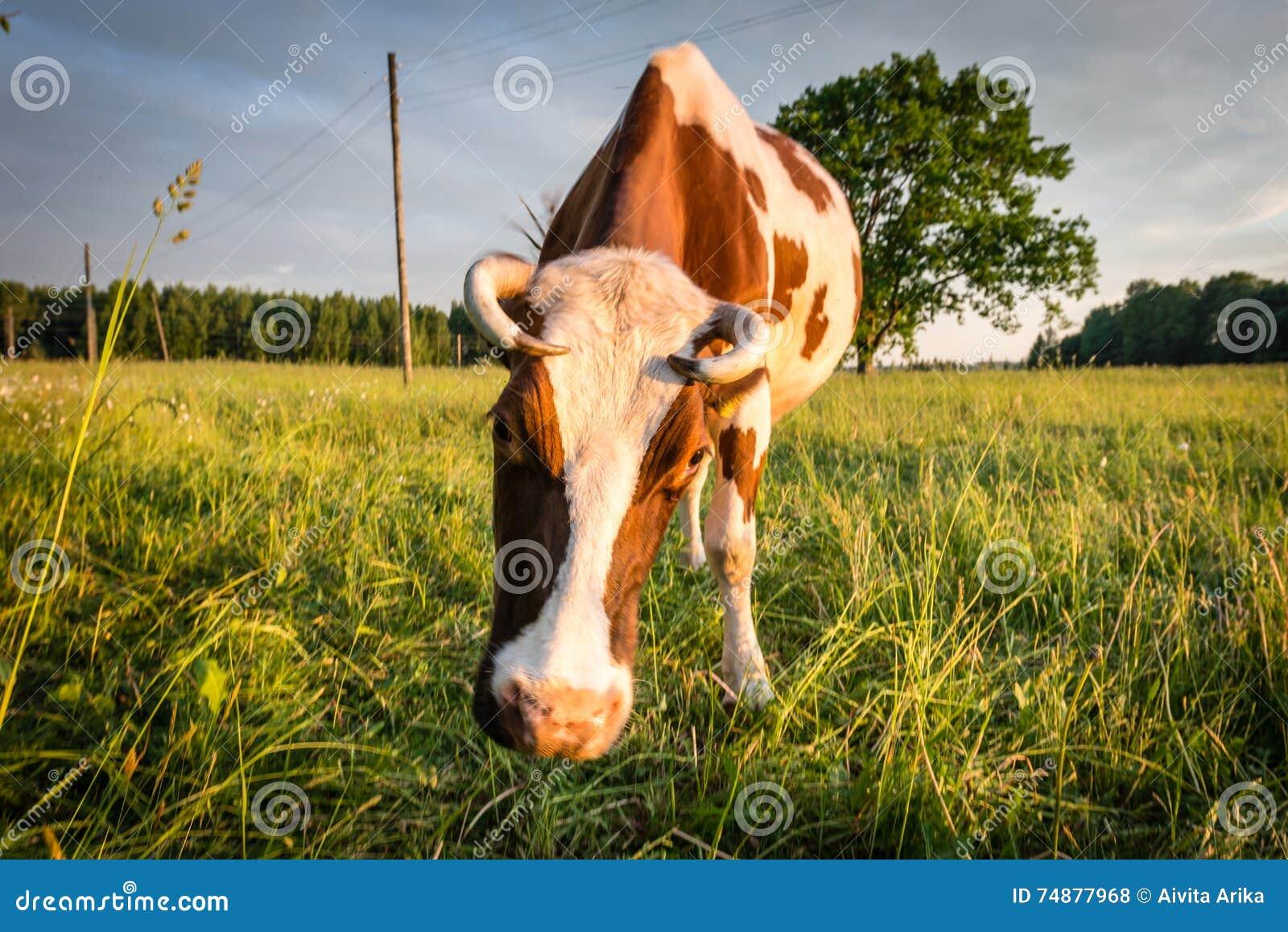 Корова в выгоне в латышской сельской местности на заходе солнца