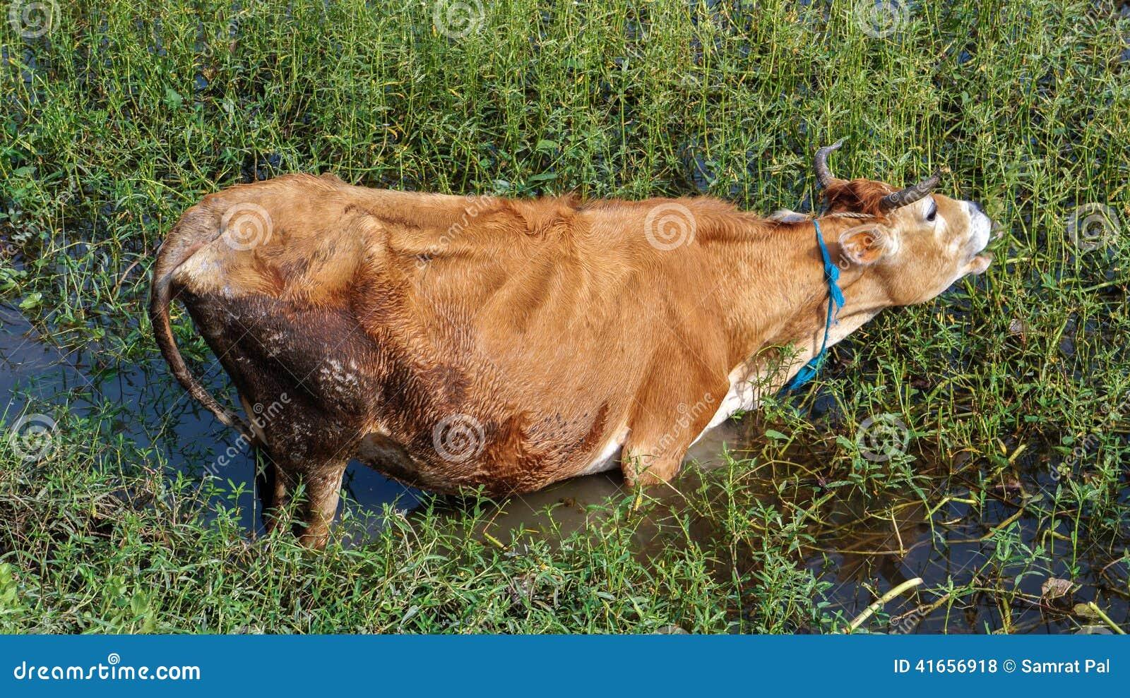 Корова в пруде, есть траву
