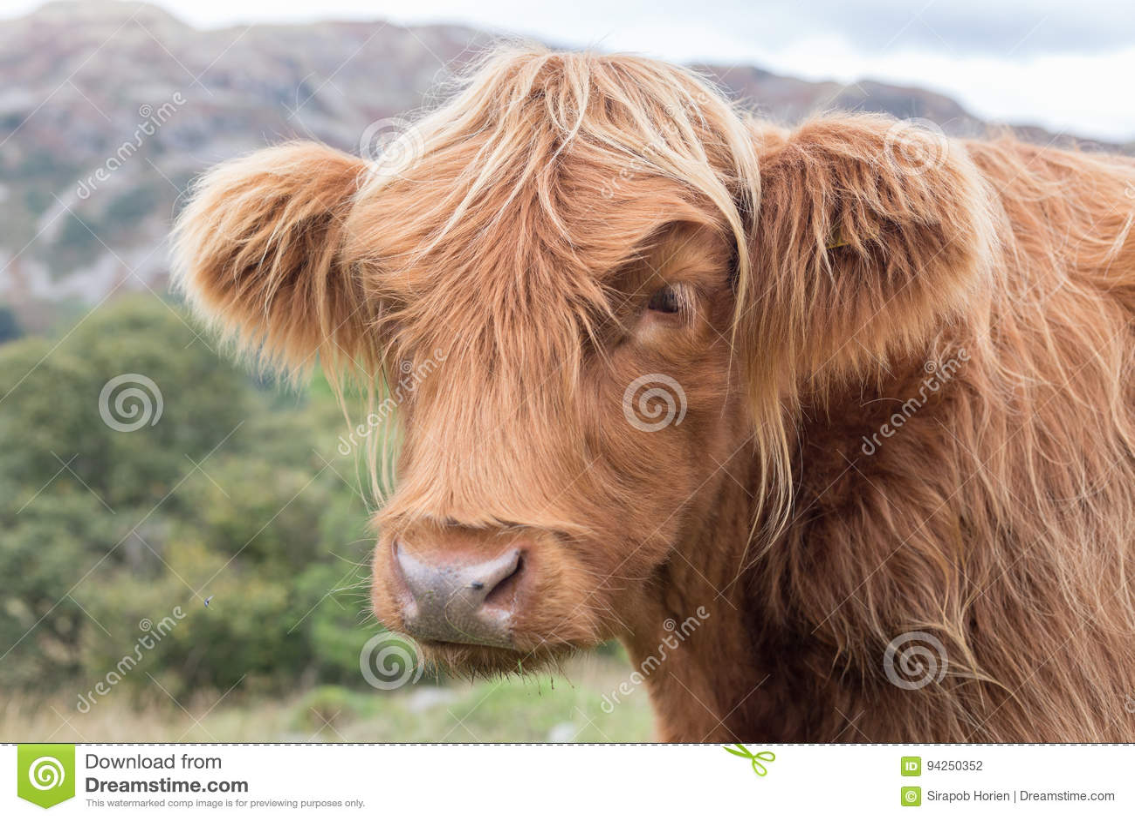 Корова гористой местности