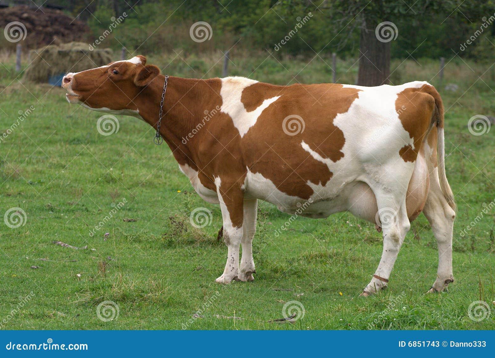 корова Джерси mooing