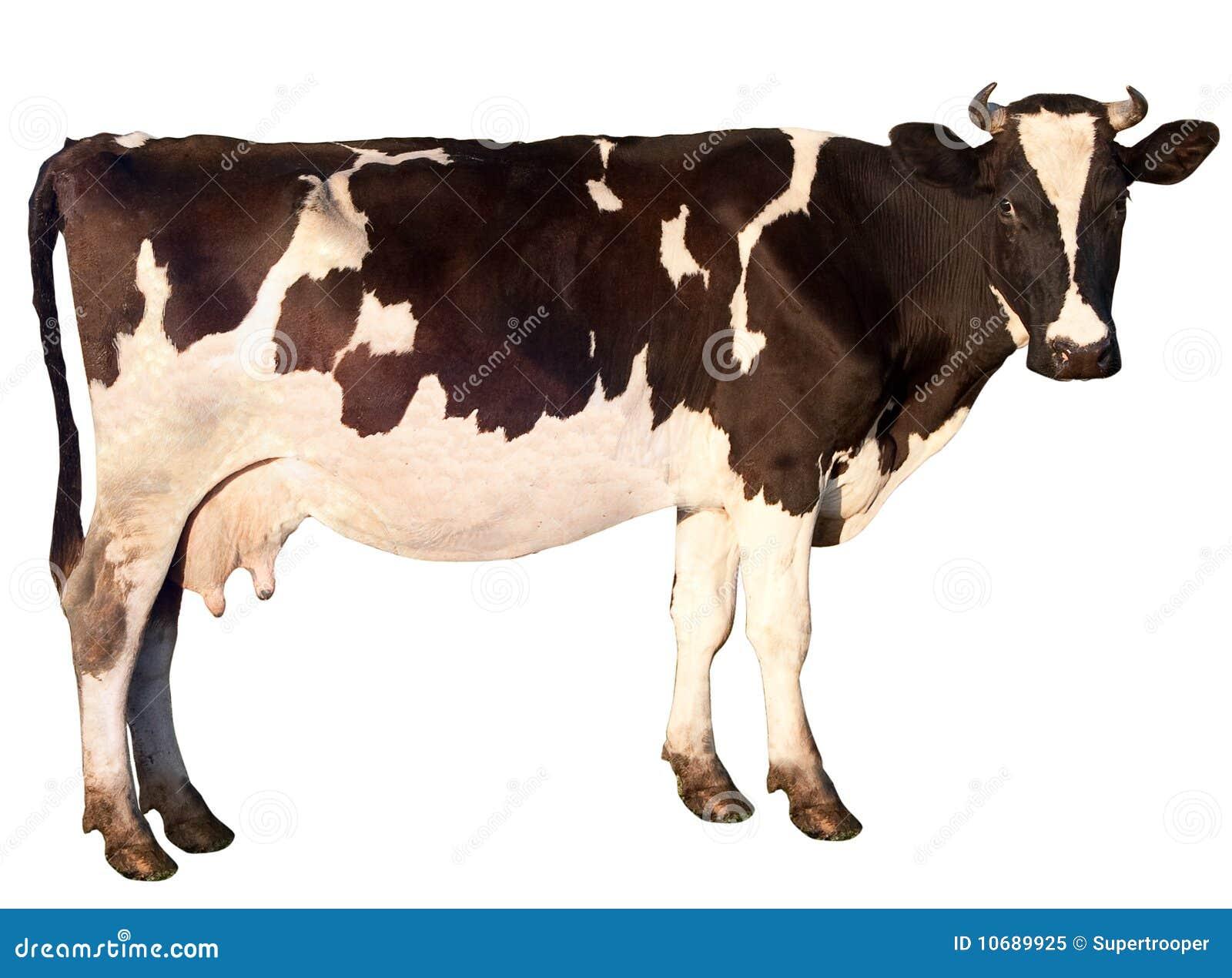 корова изолировала