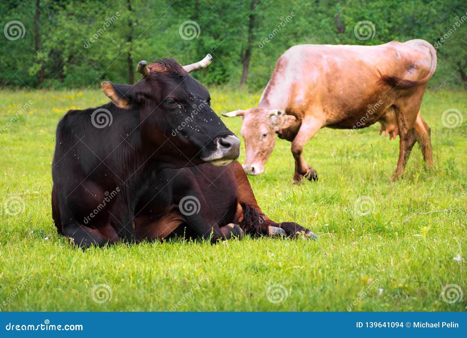 Корова кладя на травянистый луг около леса
