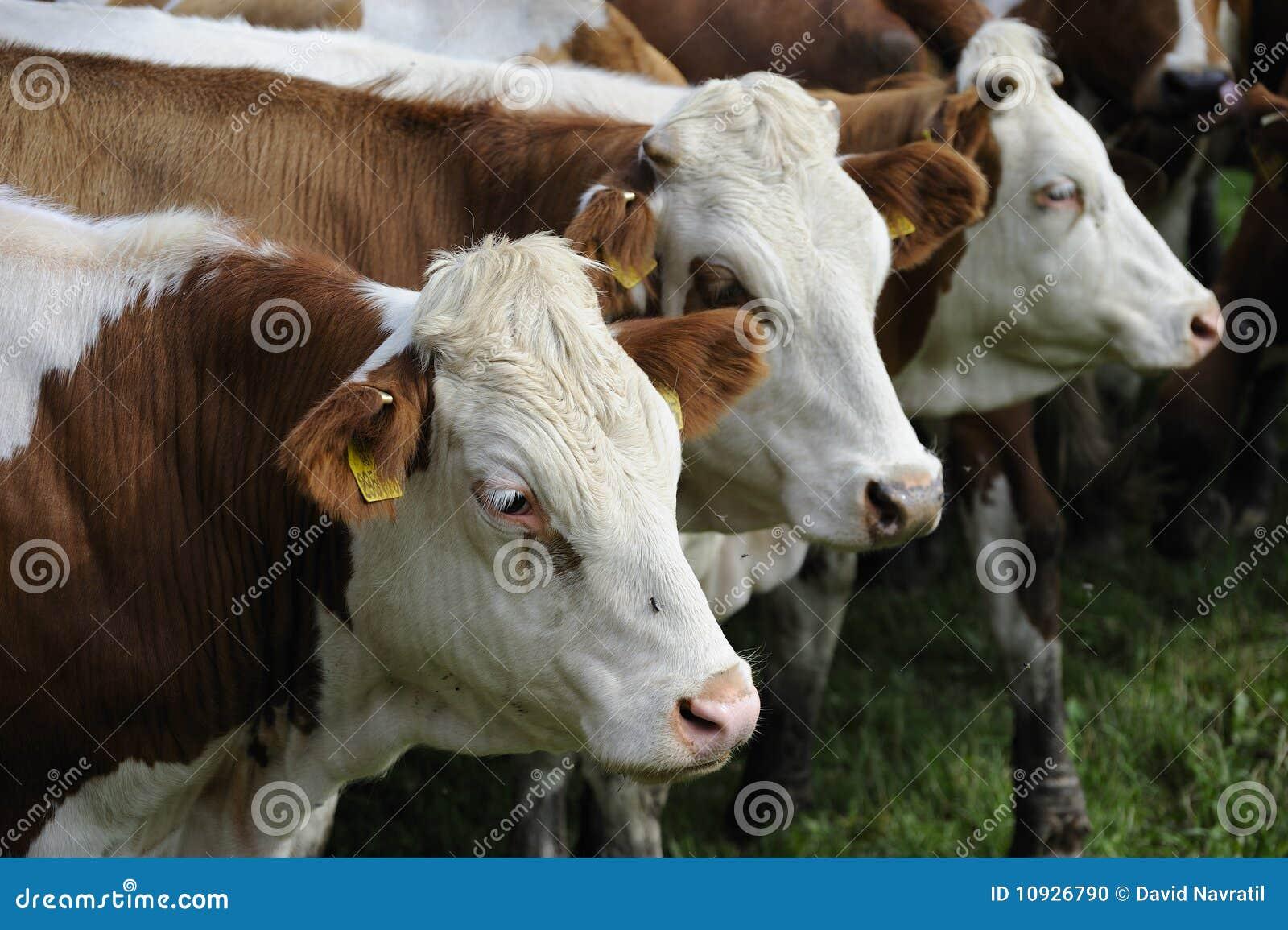 корова управляла