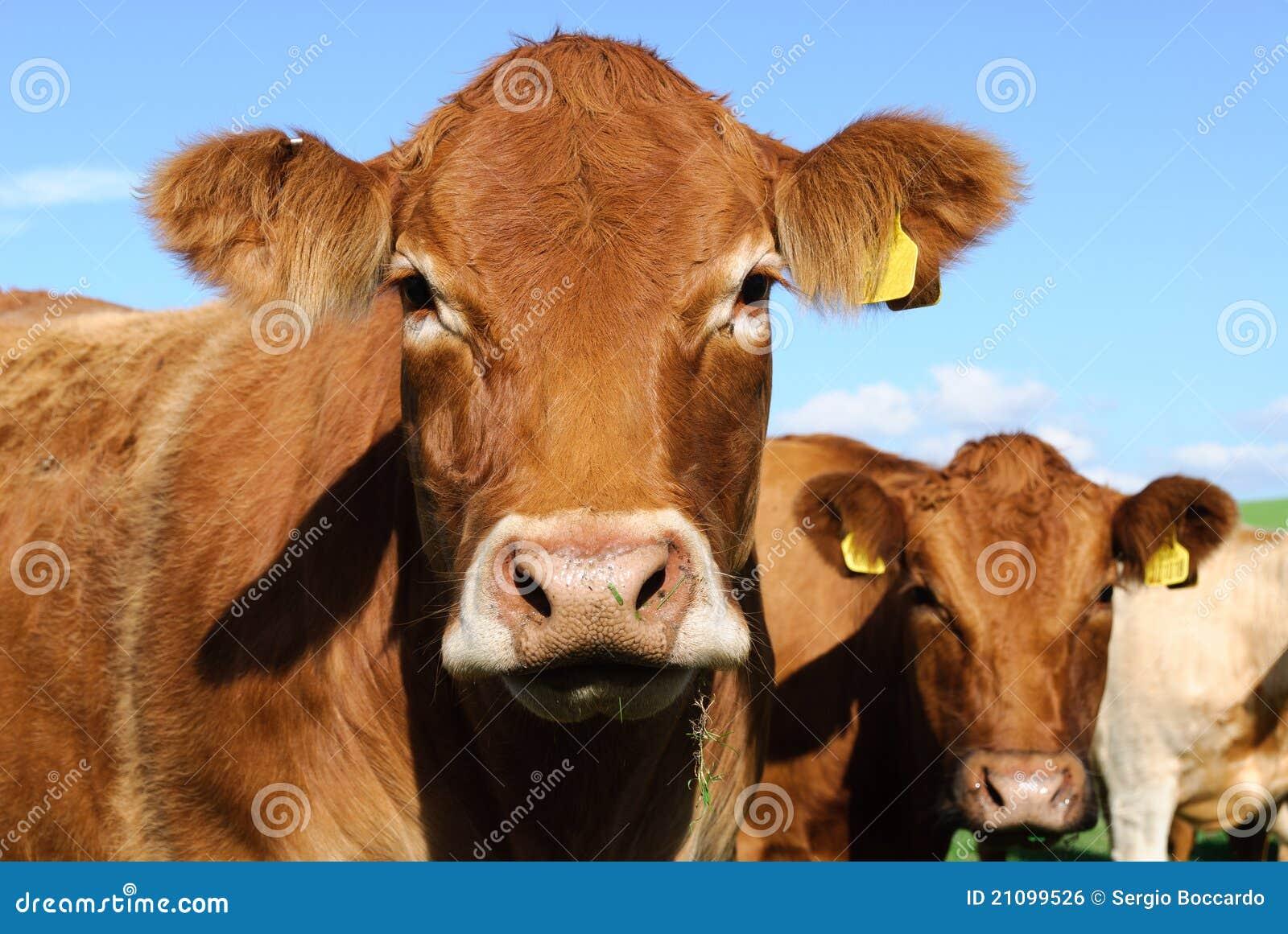 корова cornwall