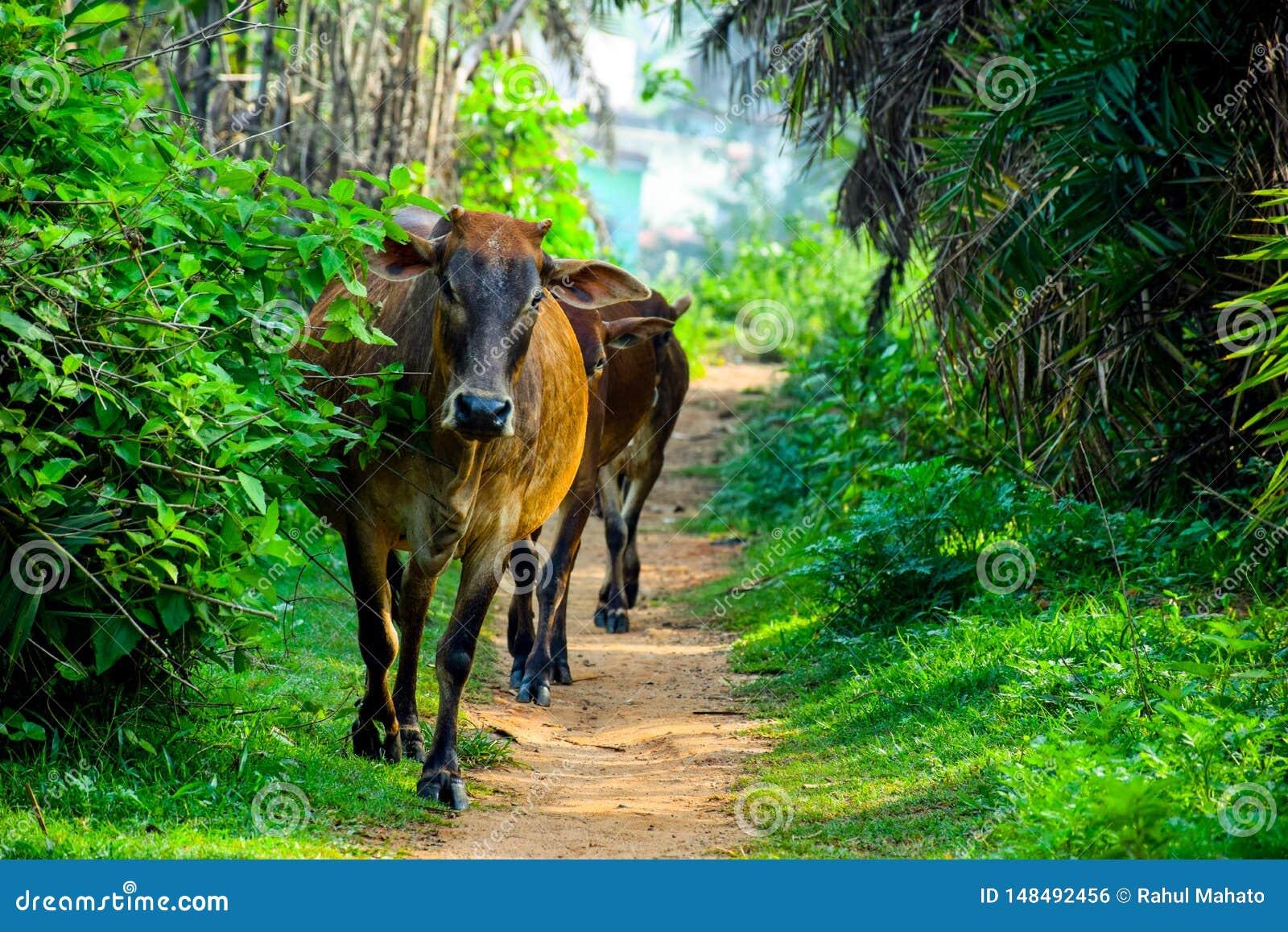 Коровы Брауна индийские пришли путь джунглей frome
