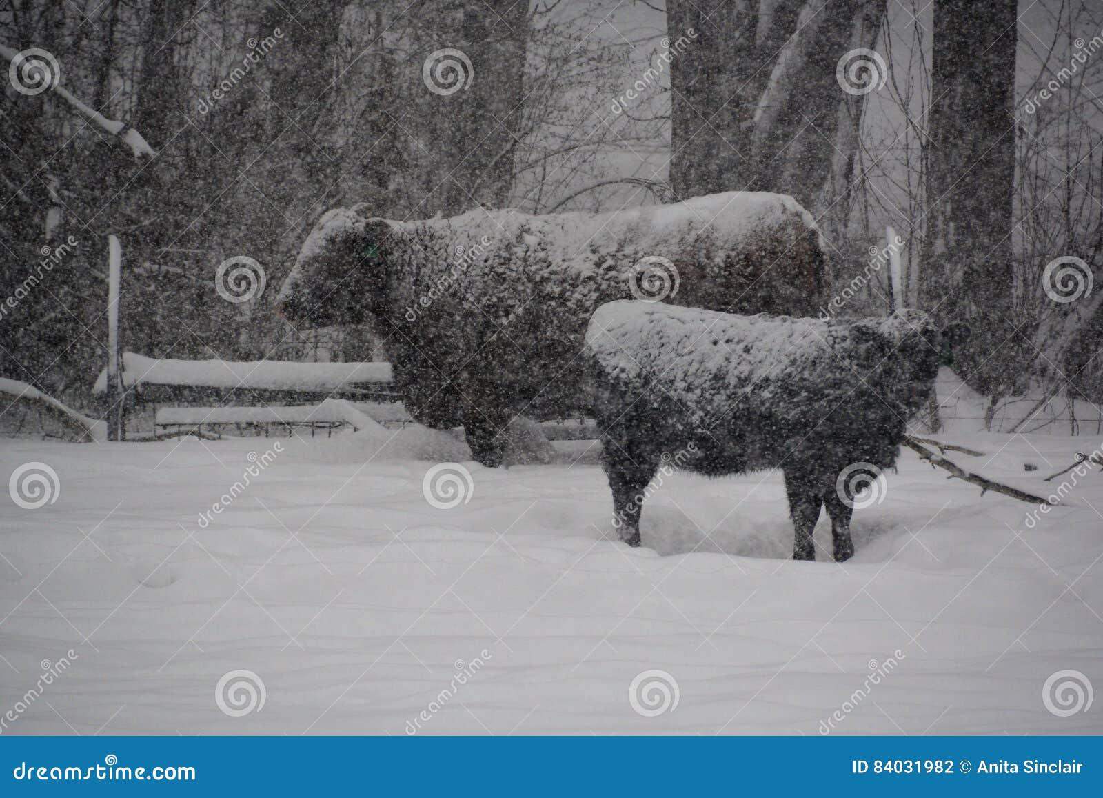 Коровы во время шторма зимы