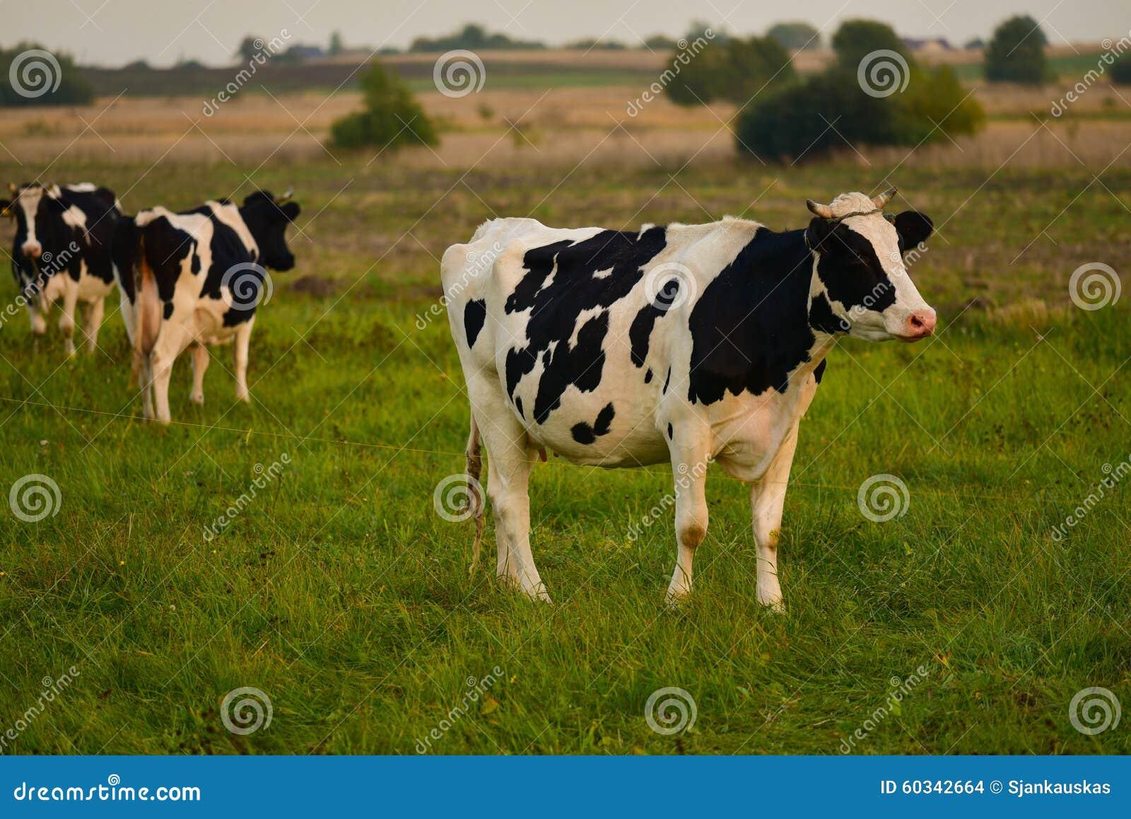 Коровы в выгоне на заходе солнца