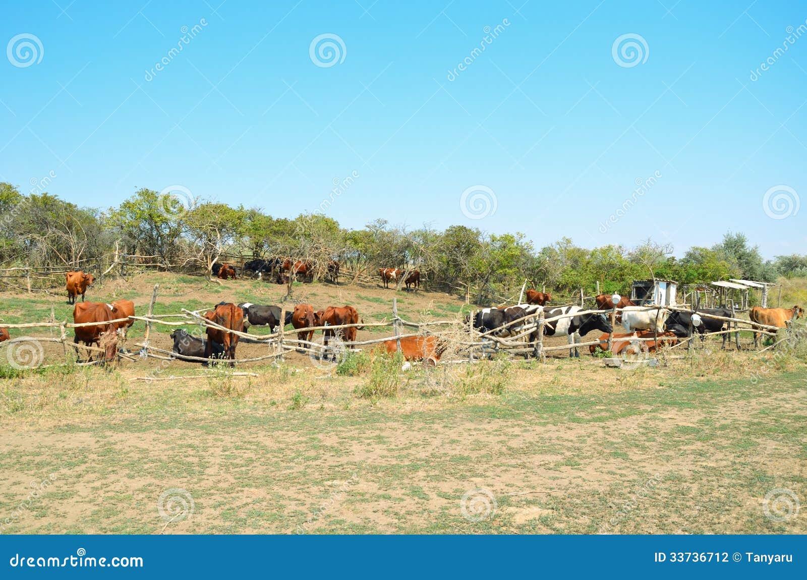 2 коровы в загоне выгона