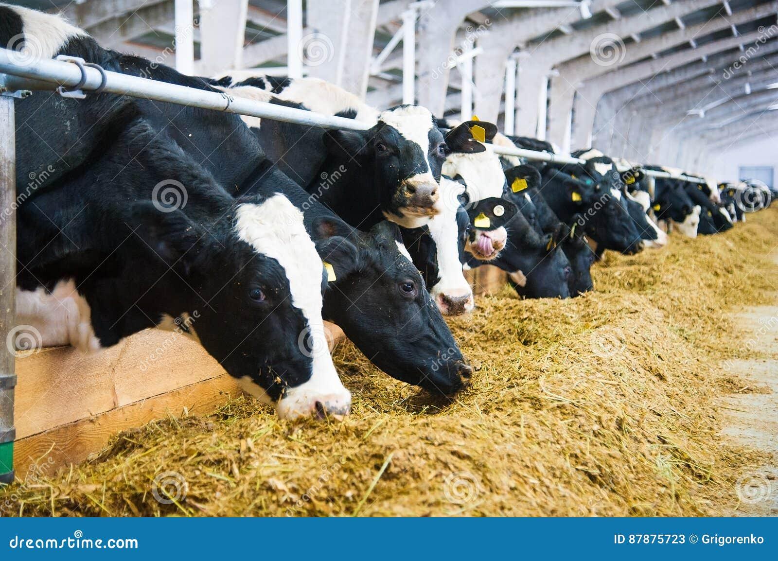Коровы в ферме Молочные коровы