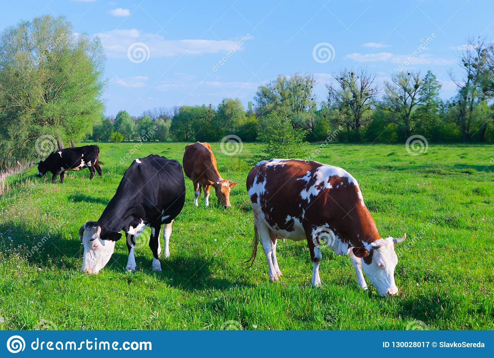 Коровы молока пася в pasturage поля зеленой травы под голубым sk