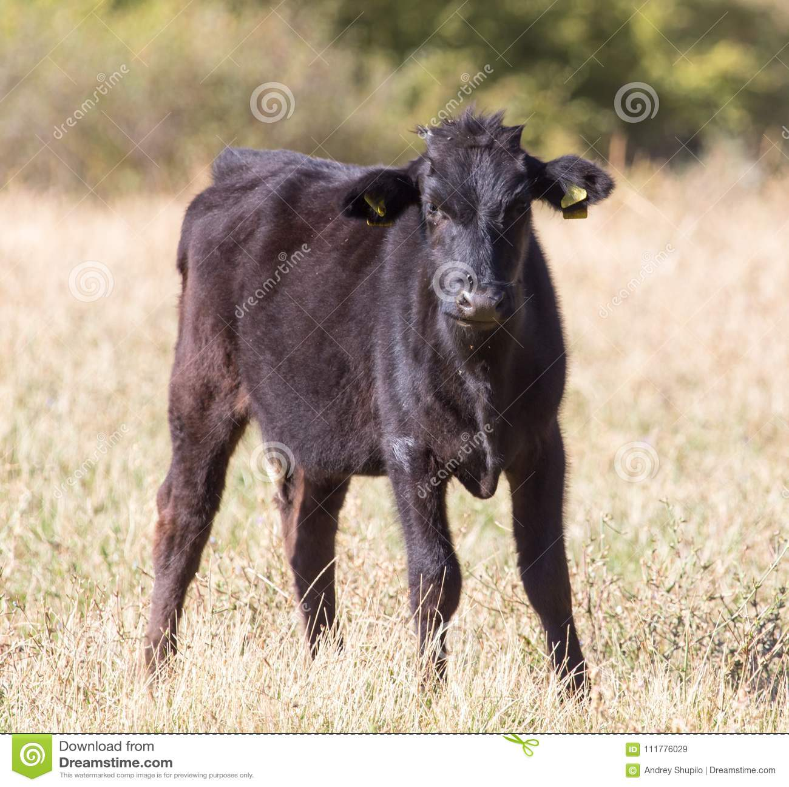 Коровы на выгоне осенью