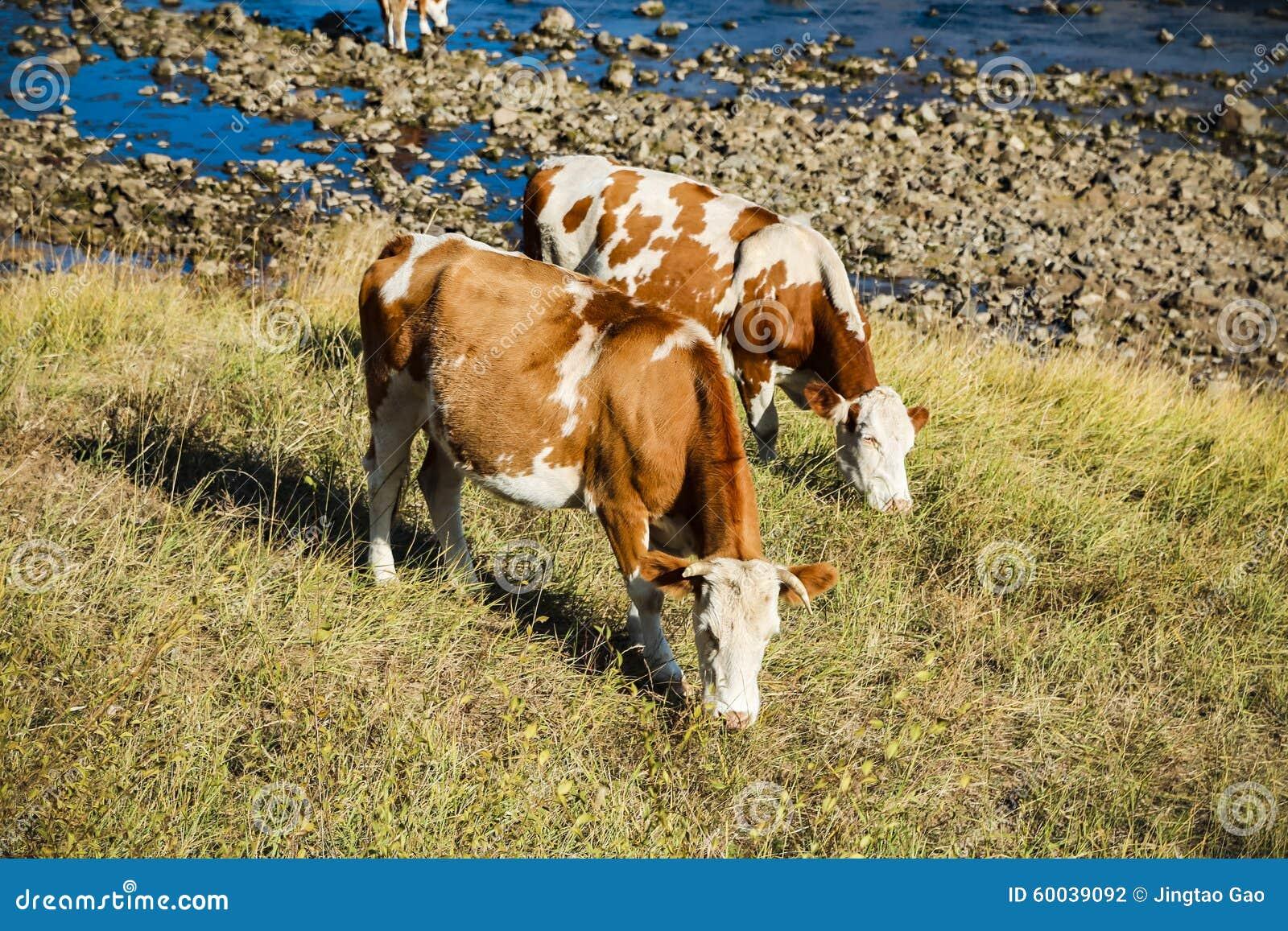 Коровы на желтой траве на реке подпирают