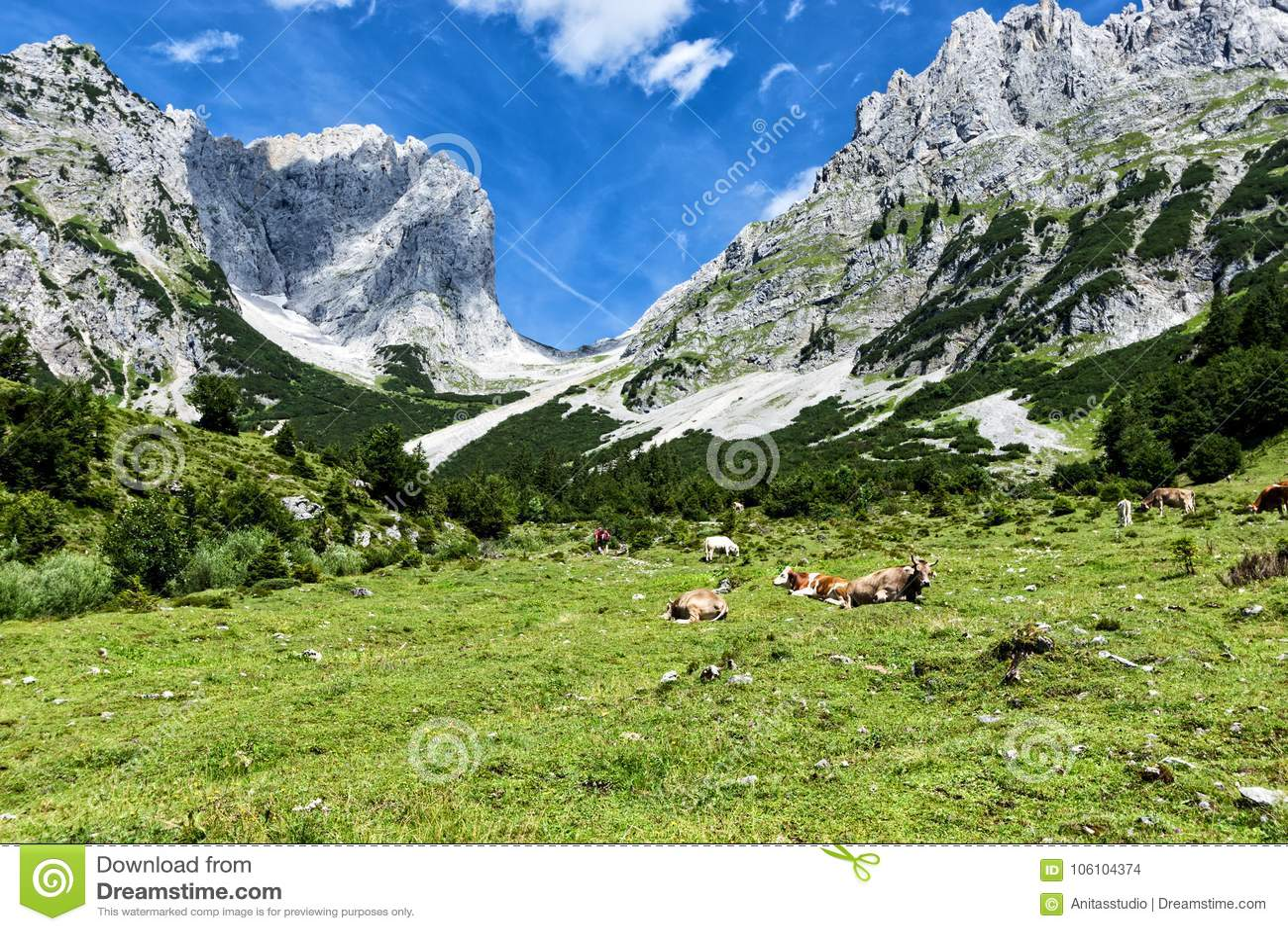 Коровы пася в высоких высокогорных выгонах в Альпах Австрия, Tiro