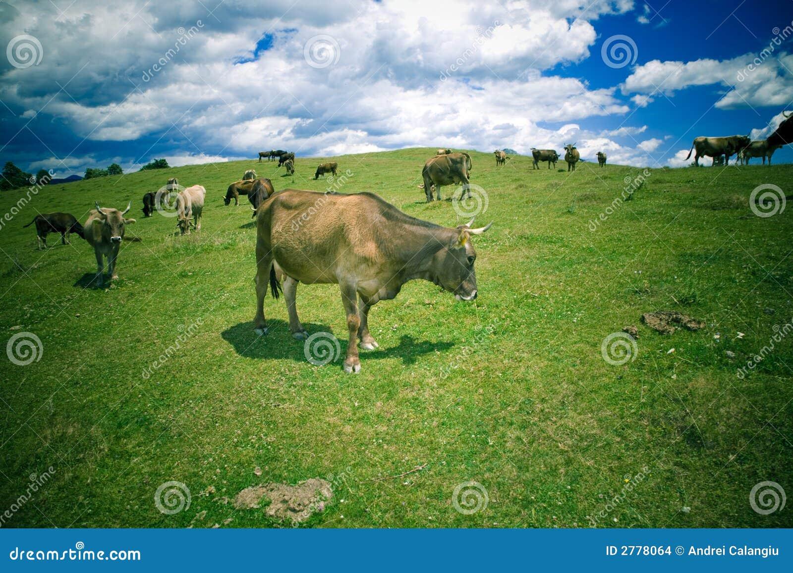 коровы пася