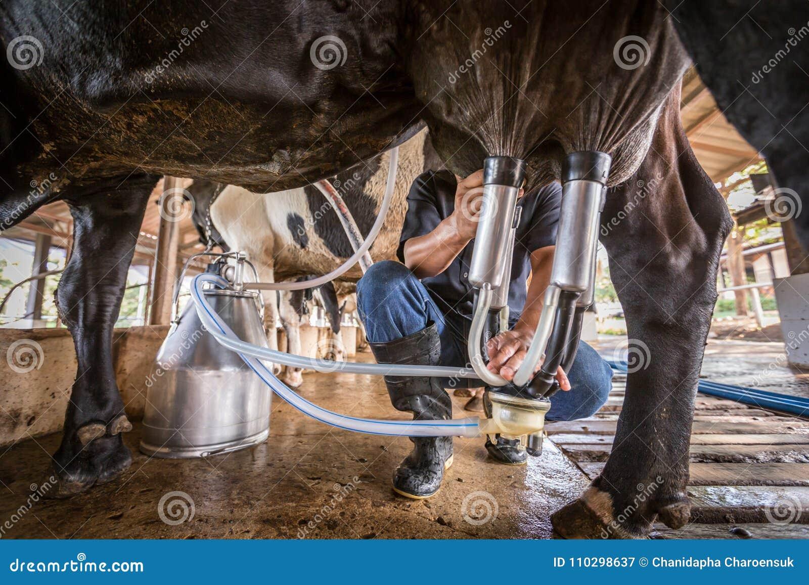 Коровы с человеком доят в молочной ферме