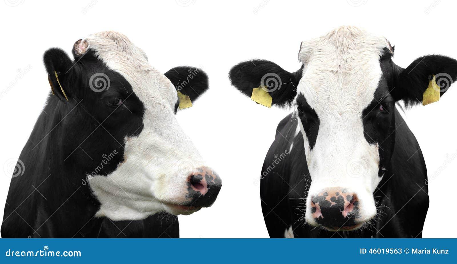 коровы 2