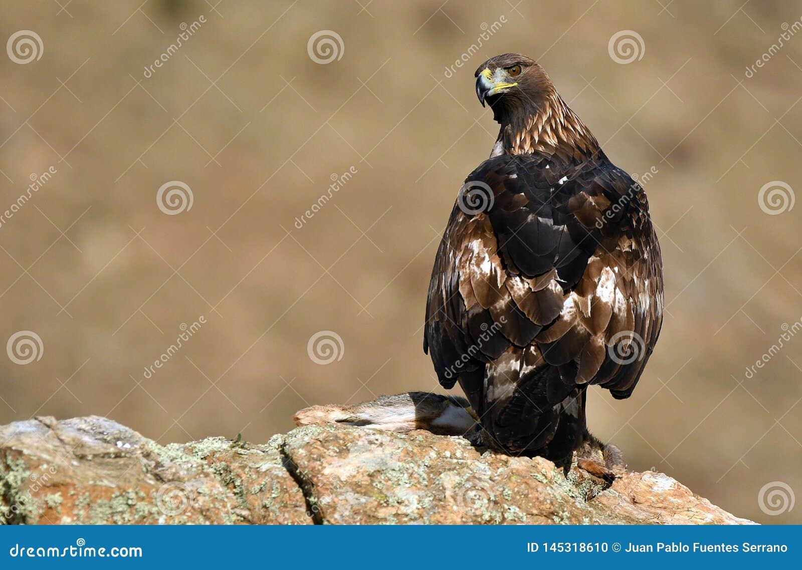 Королевские окуни орла на утесе рядом с запрудой