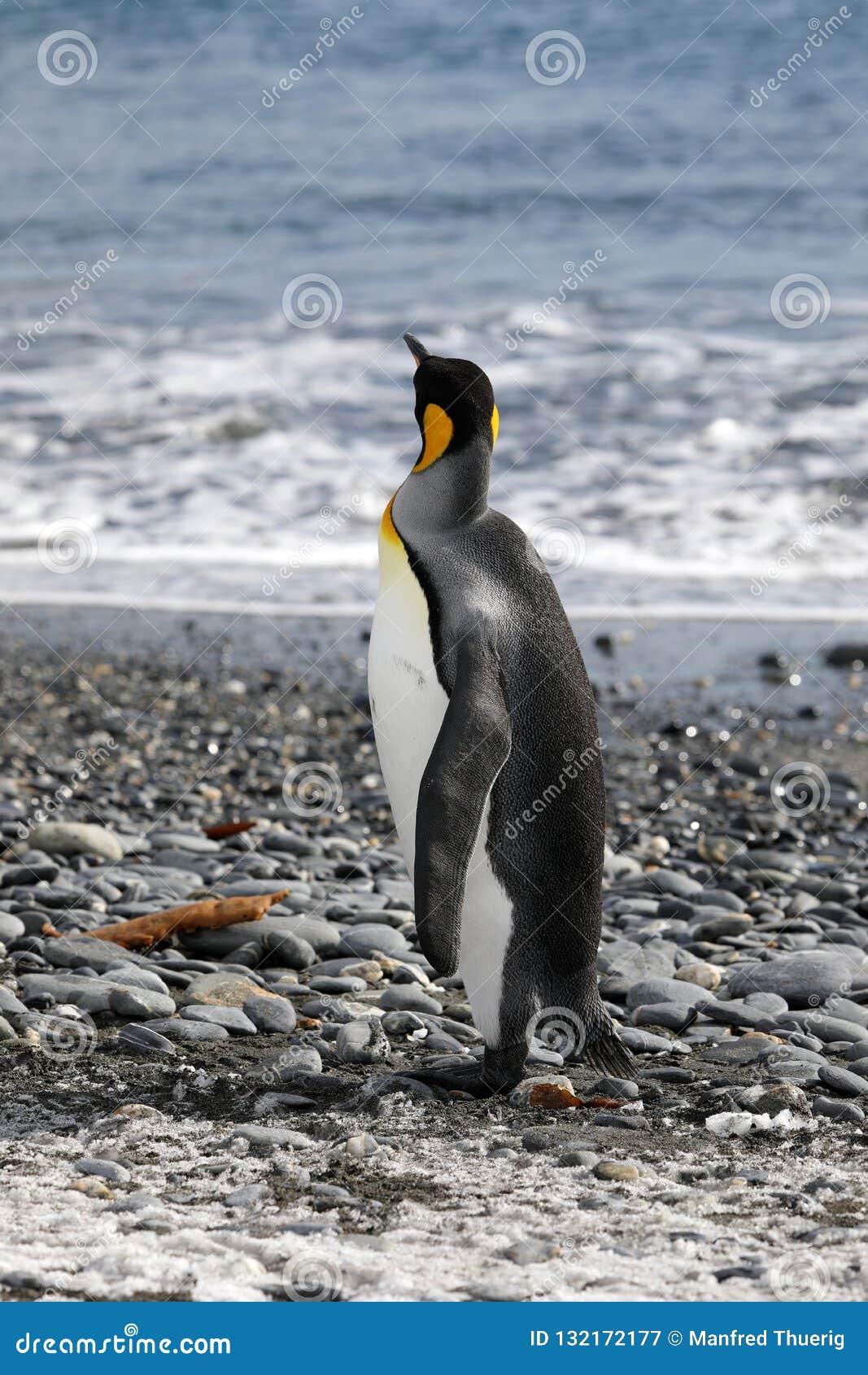 Король пингвин смотрит вне к морю в равнине Солсбери на Южной Георгие