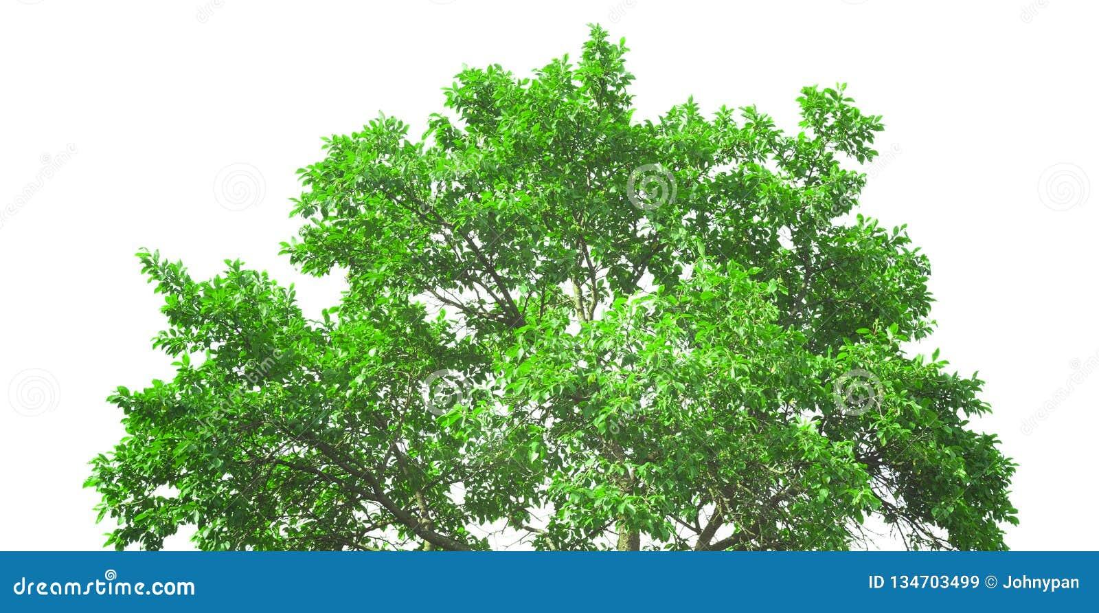 Корона свежего зеленого изолированного дерева