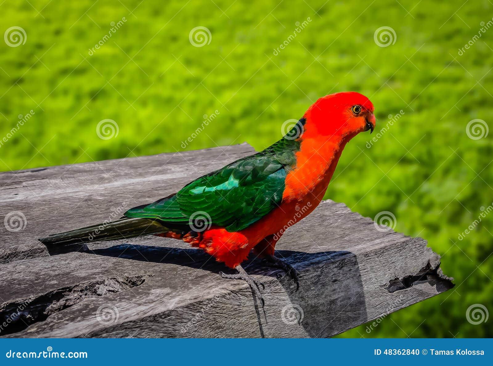 Король Попугай