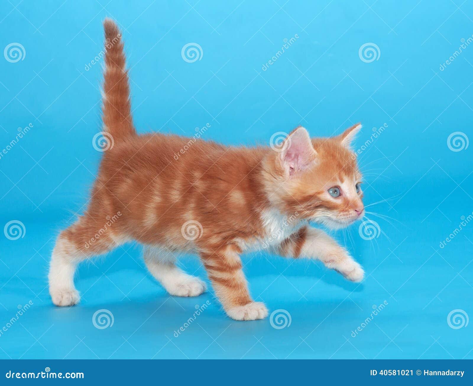Котенок имбиря с опаской идет на синь