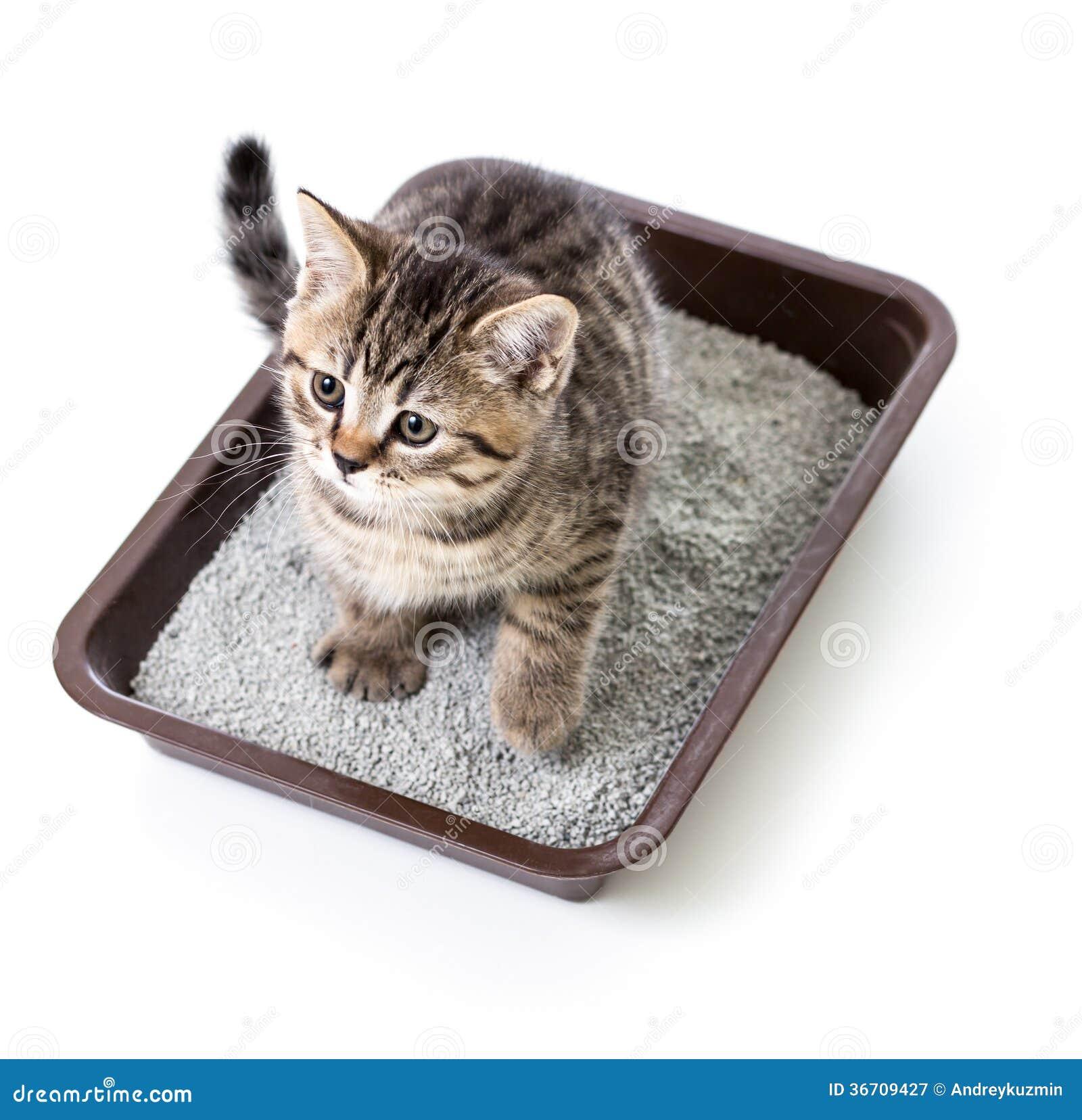 Котенок или кот в коробке подноса туалета при Absorbent ...