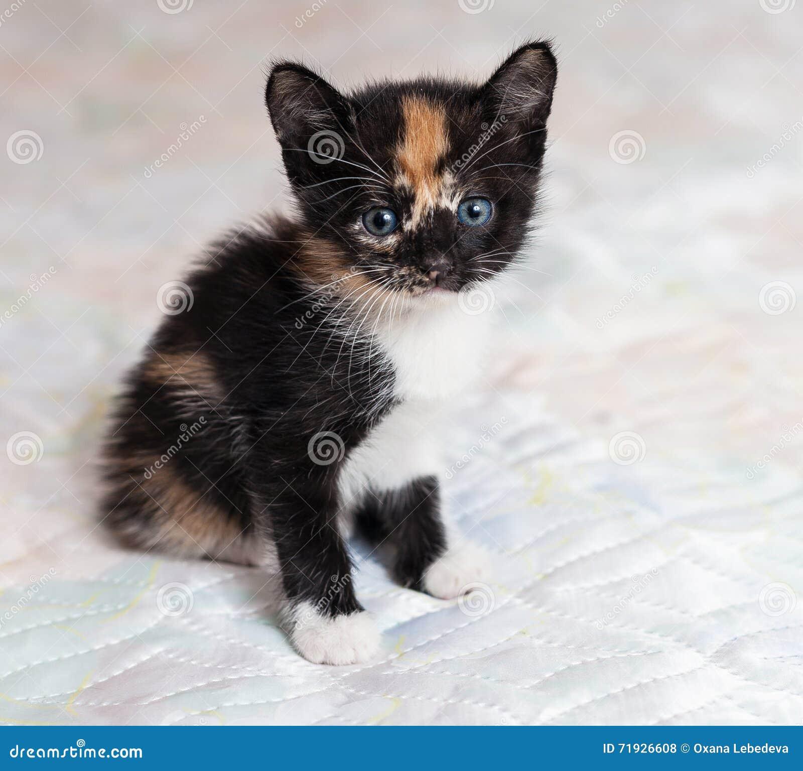 Котенок ситца