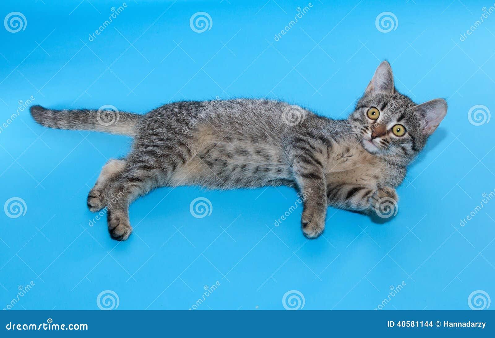 Котенок Tabby с желтым цветом наблюдает лежать на сини