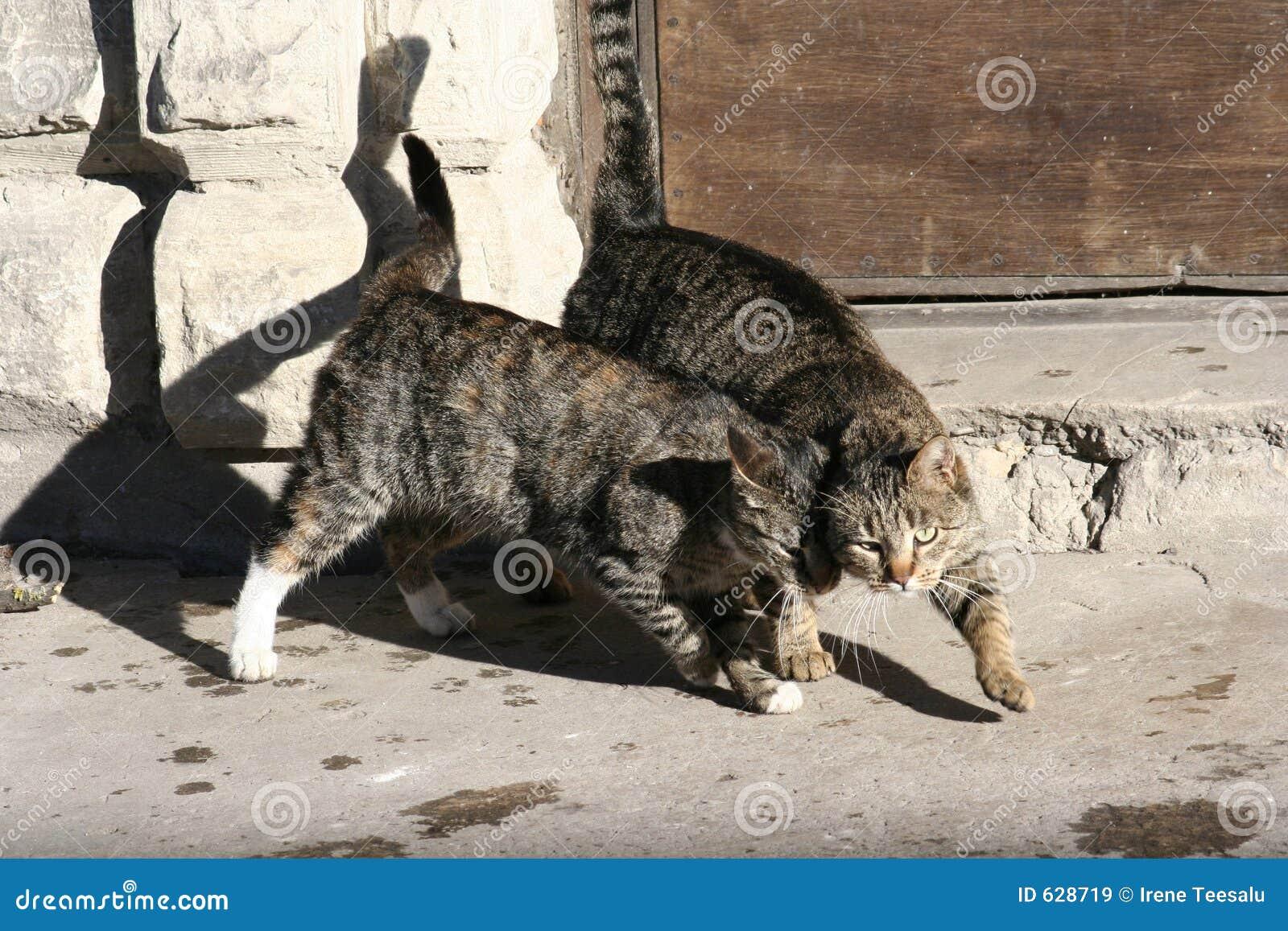 Download коты стоковое изображение. изображение насчитывающей отечественно - 628719