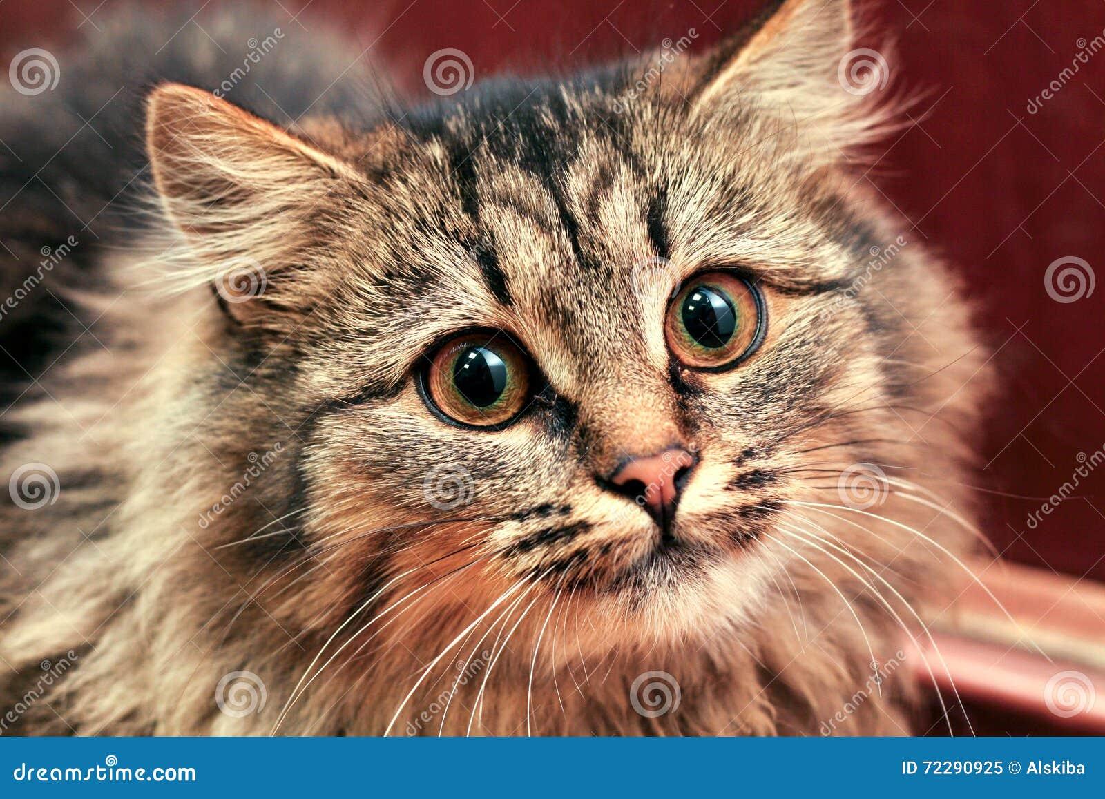 Download Кот вытаращить интенсивно стоковое изображение. изображение насчитывающей зло - 72290925
